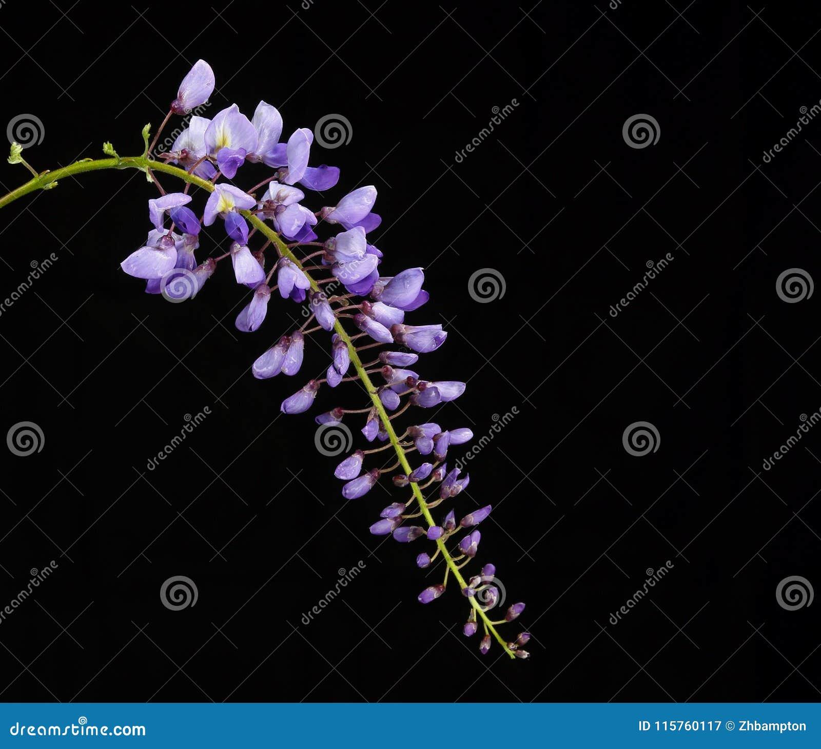 Πορφυρά λουλούδια Wisteria σε ένα μαύρο υπόβαθρο