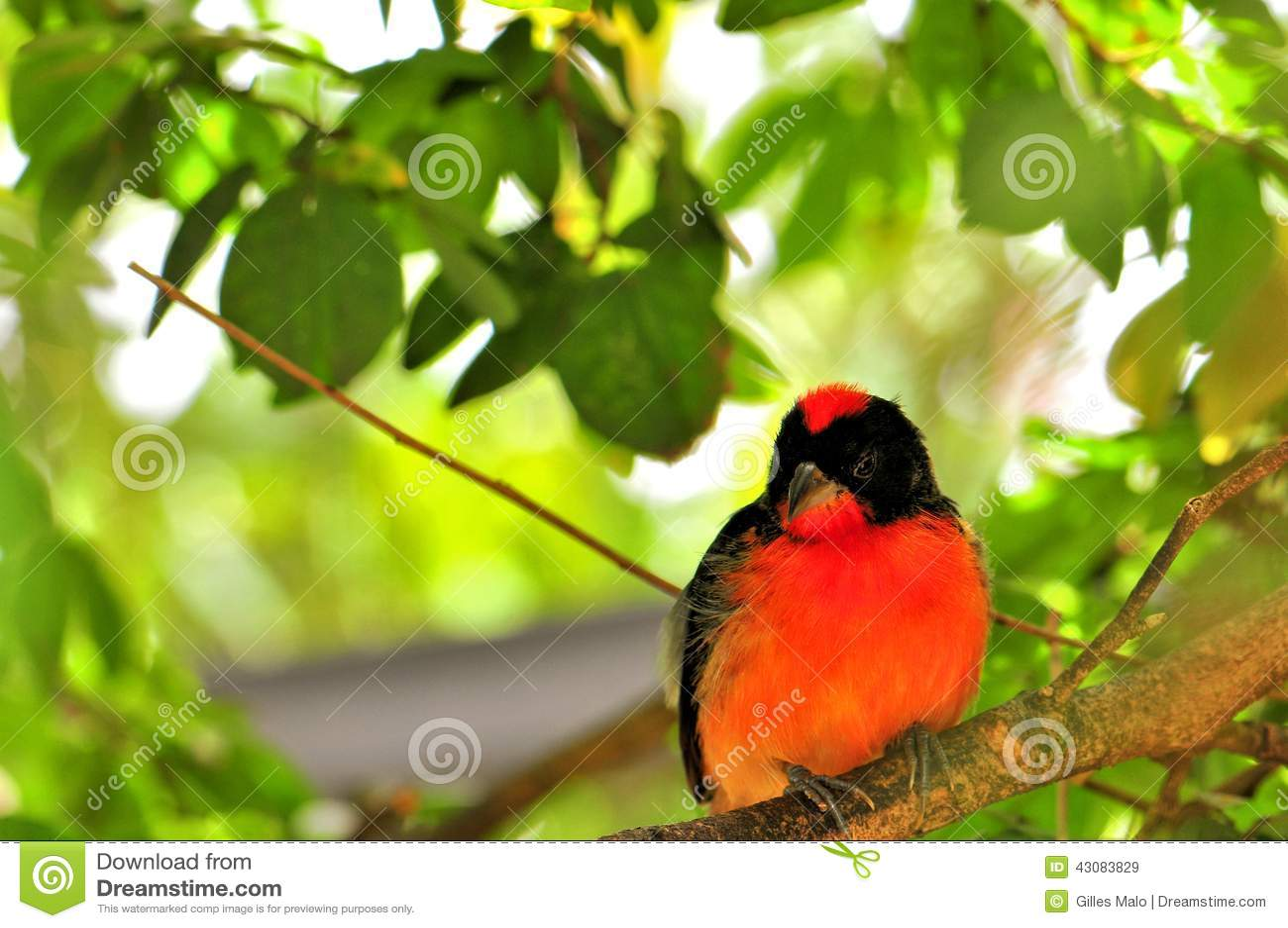 Πορφυρός-Finch το πουλί στο κλουβί