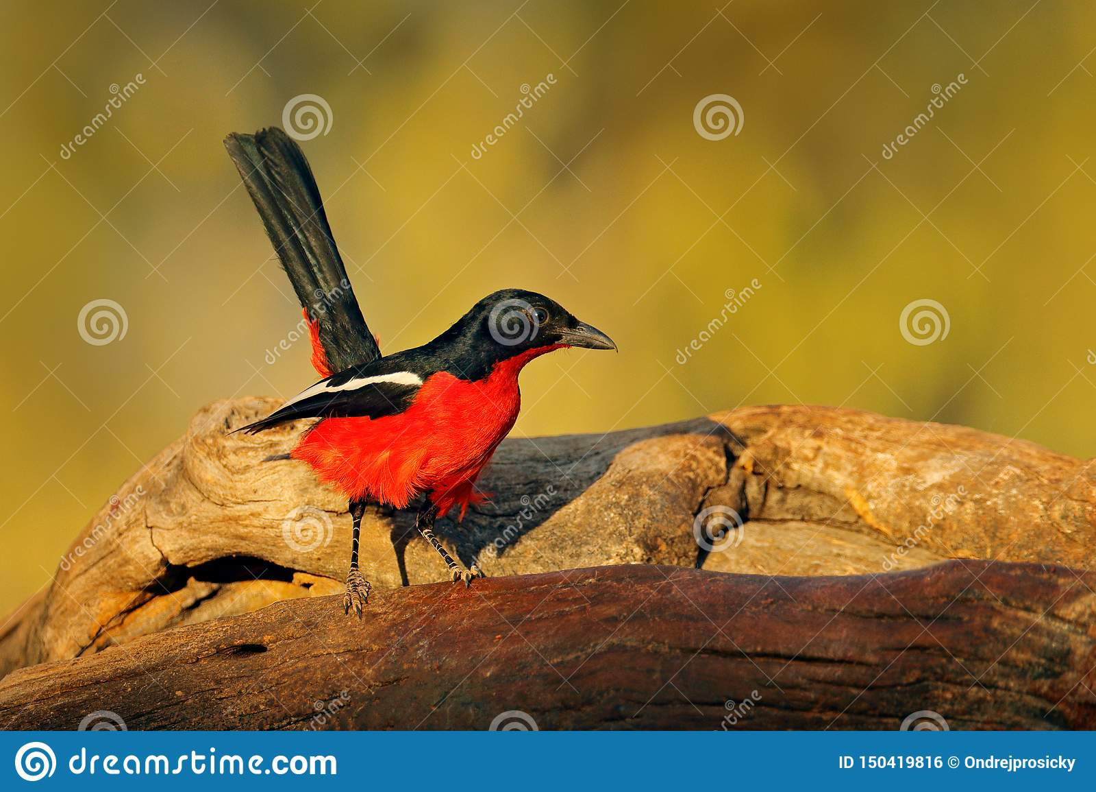 Πορφυρός-gonolek shrike, μαύρου και κόκκινου πουλί atrococcineus Laniarius, από Etosha, Ναμίμπια, Αφρική Ζωική συμπεριφορά μέσα