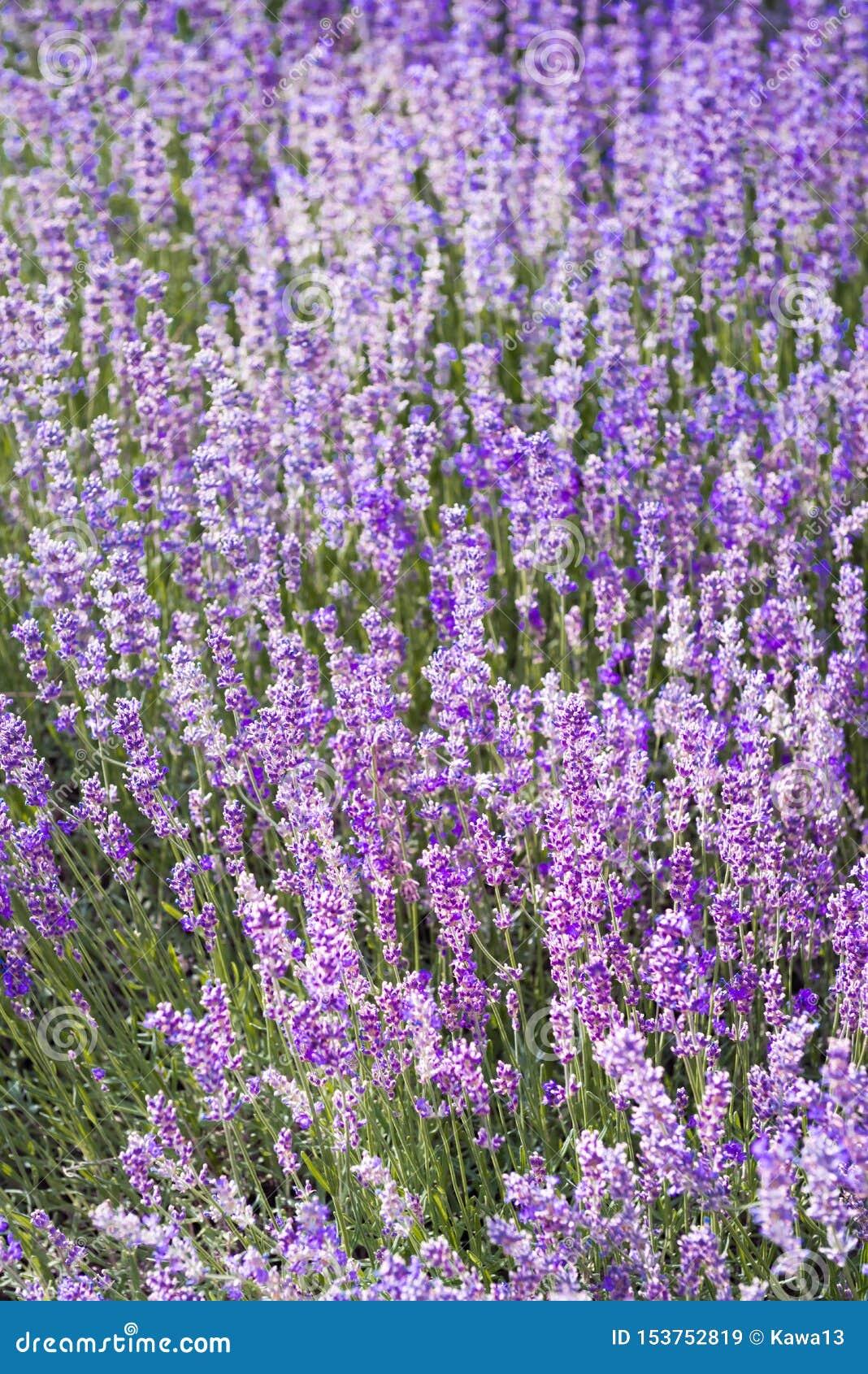Πορφυρό ιώδες lavender χρώματος λουλούδι