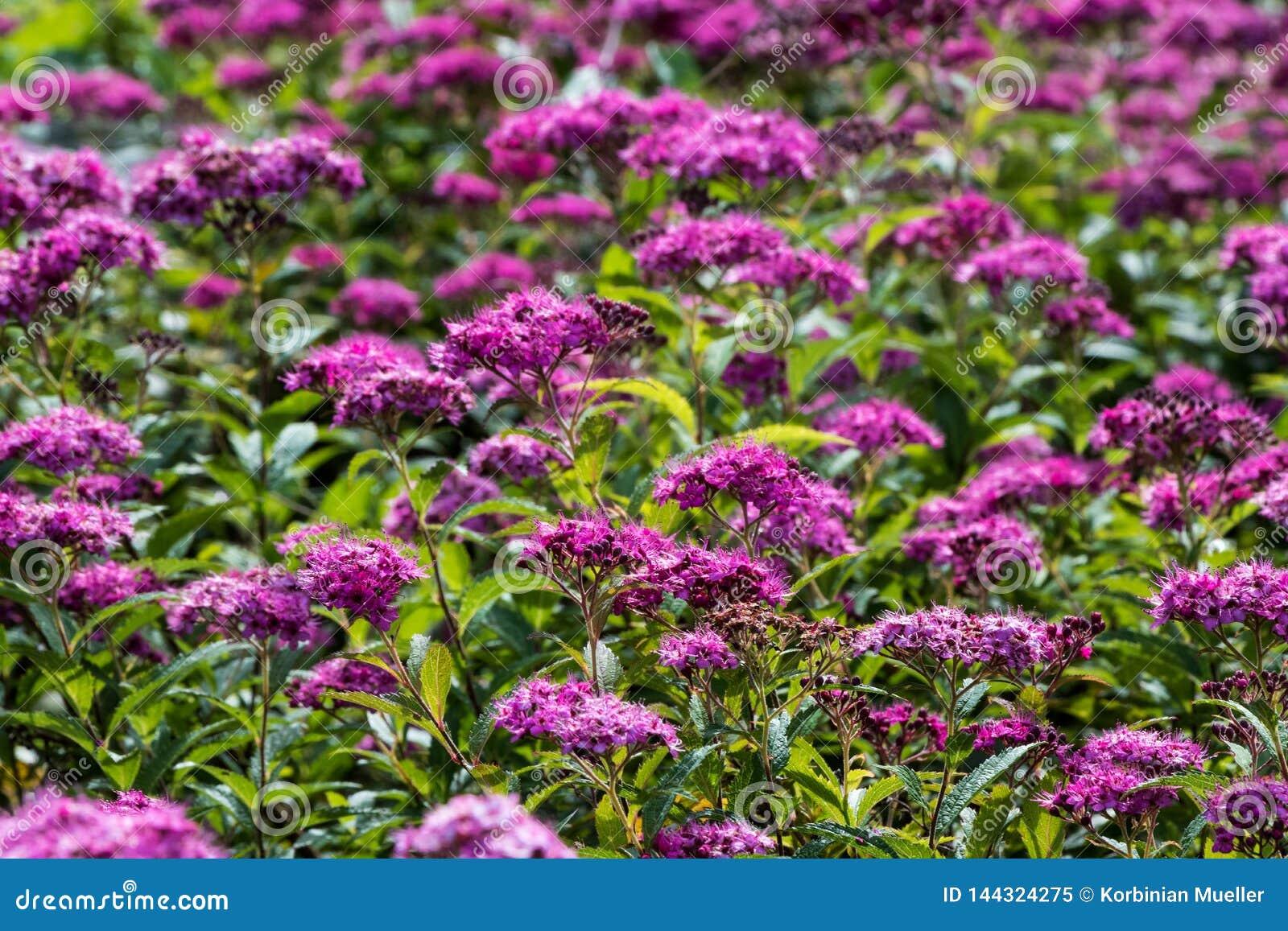 Πορφυρό λιβάδι λουλουδιών