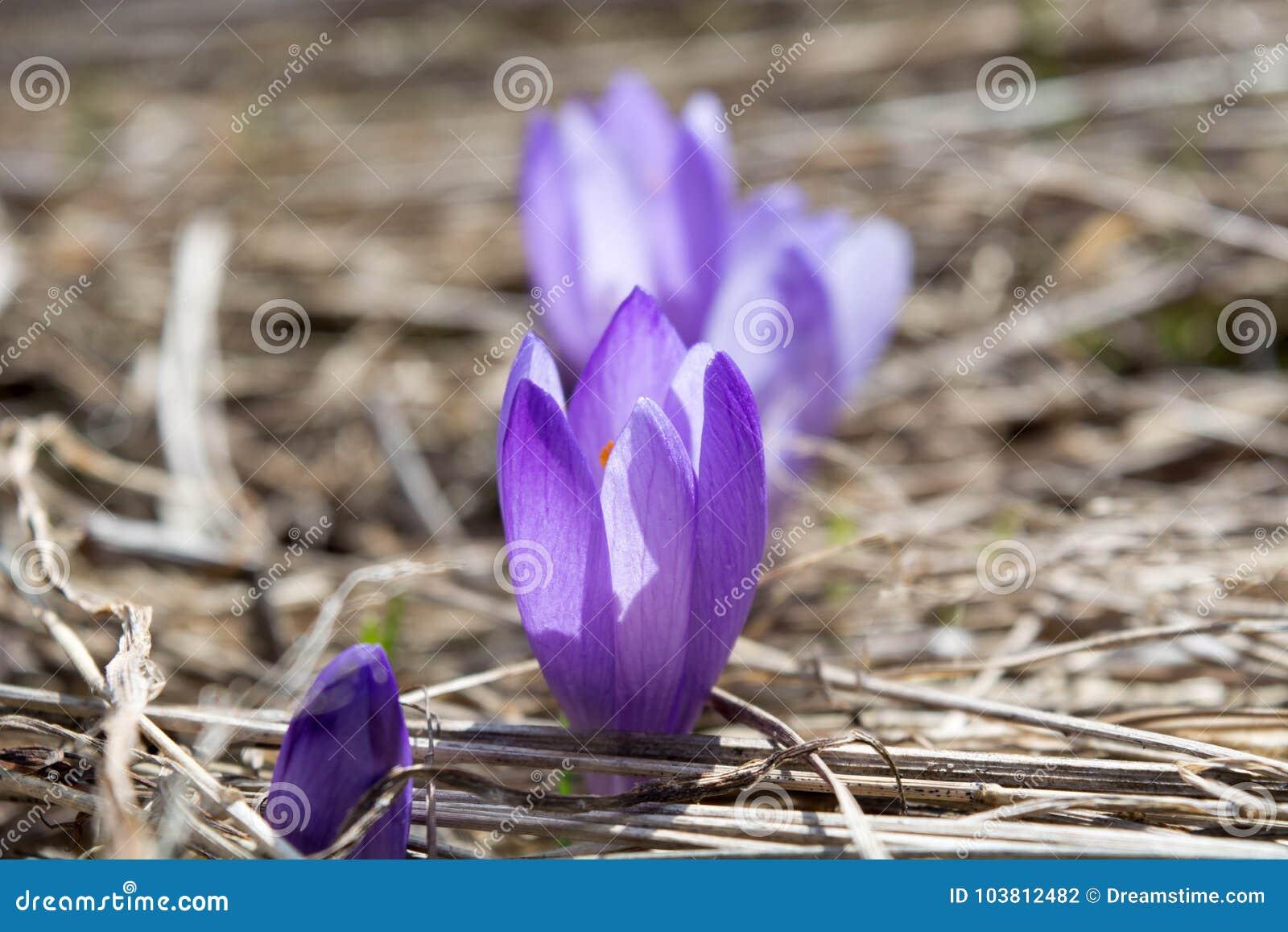 Πορφυρό λουλούδι Gorgeus