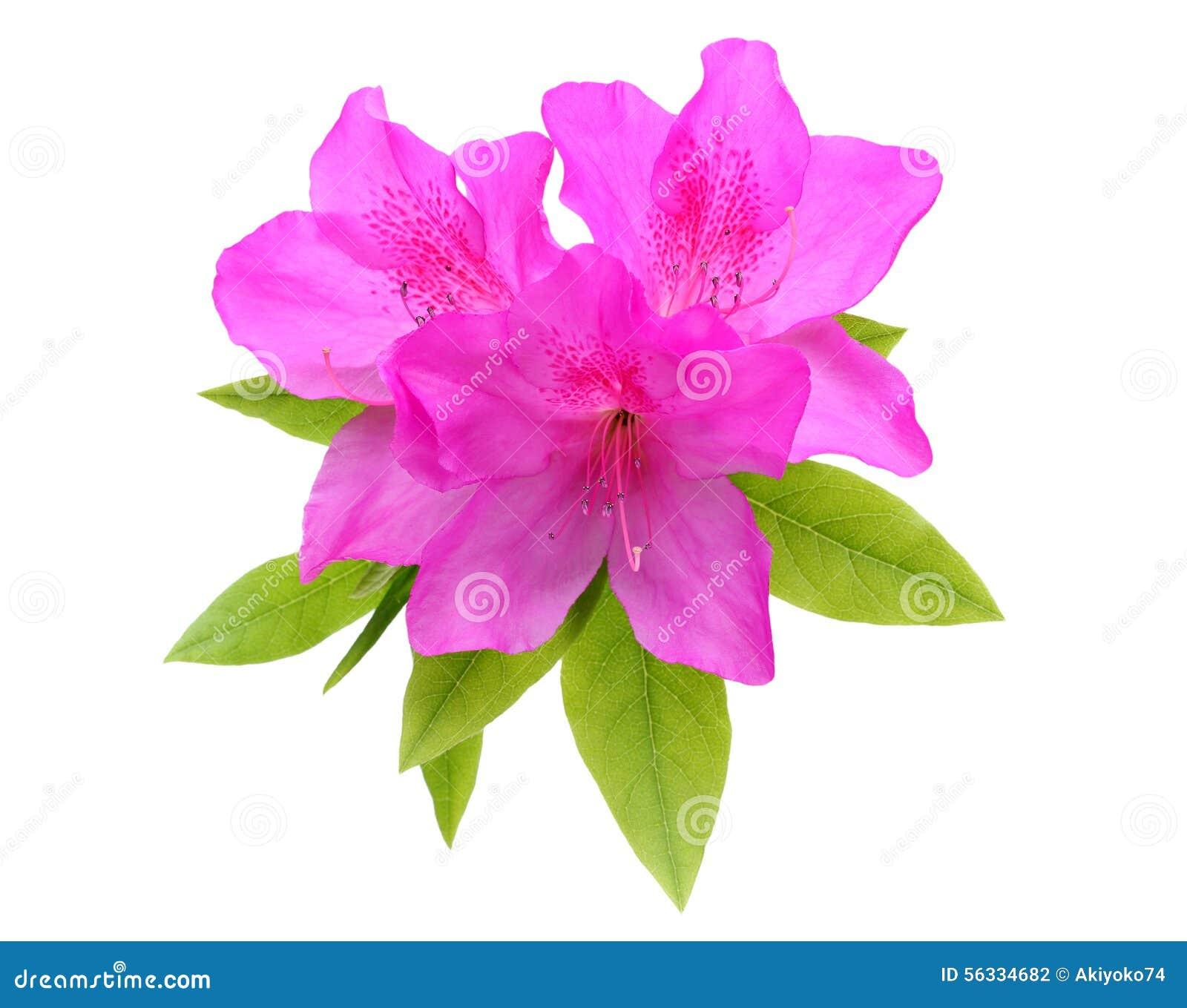 Πορφυρό λουλούδι αζαλεών