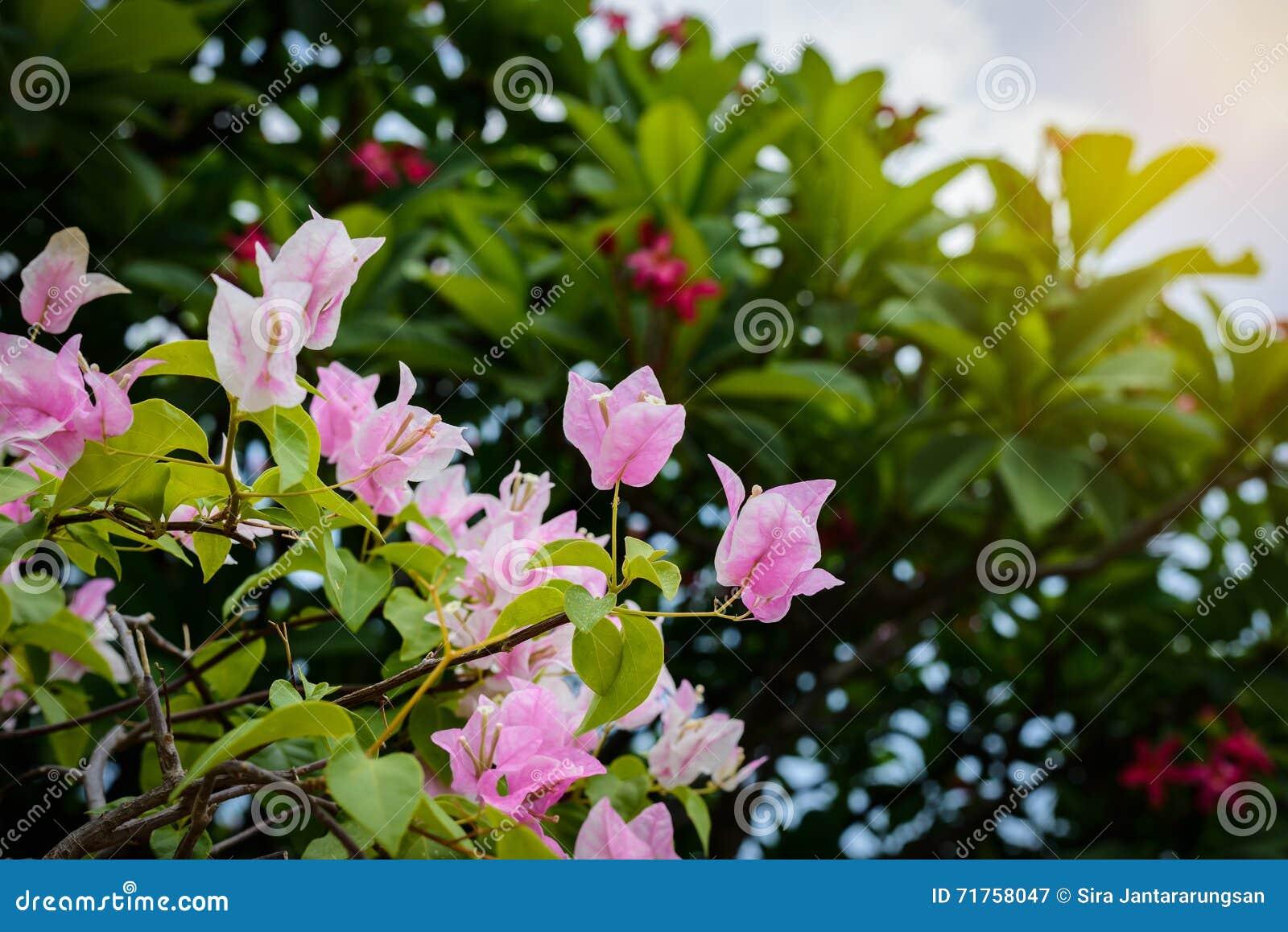 Πορφυρό bougainvillea στον κήπο