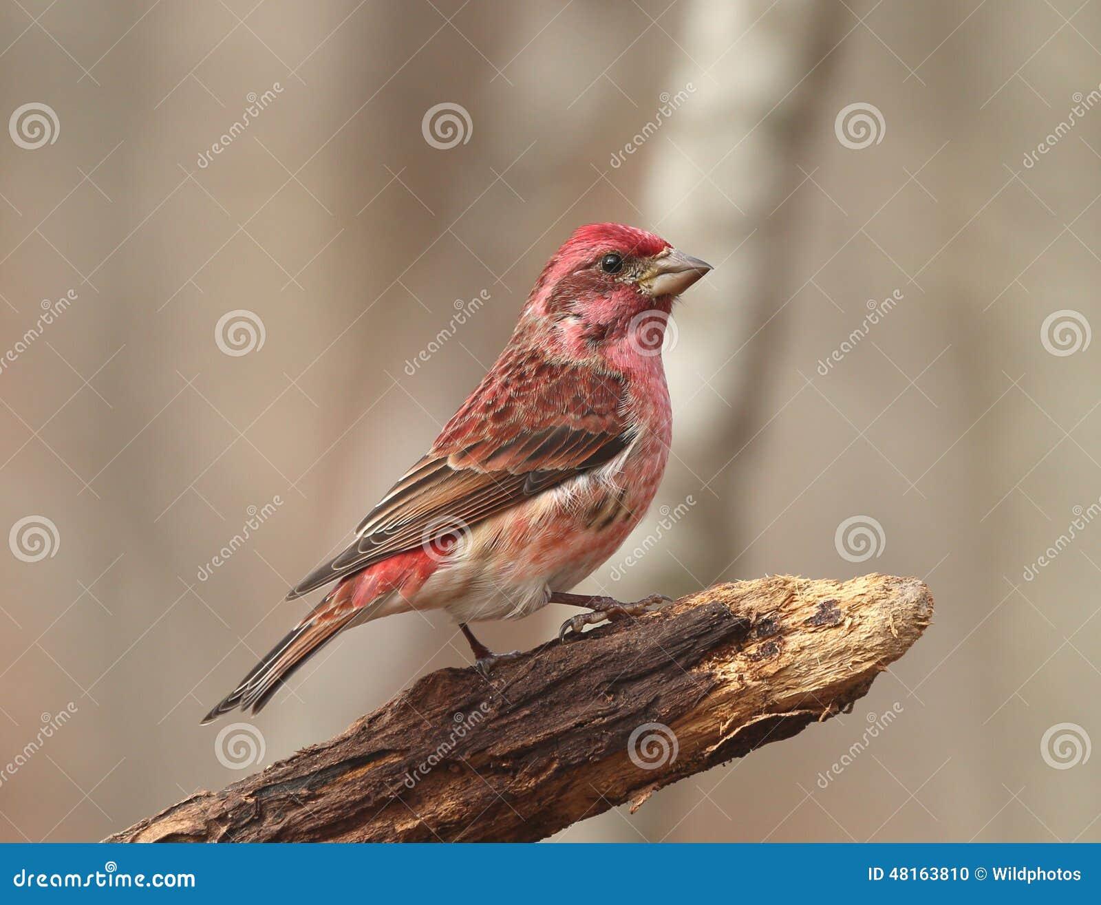 Πορφυρό Finch