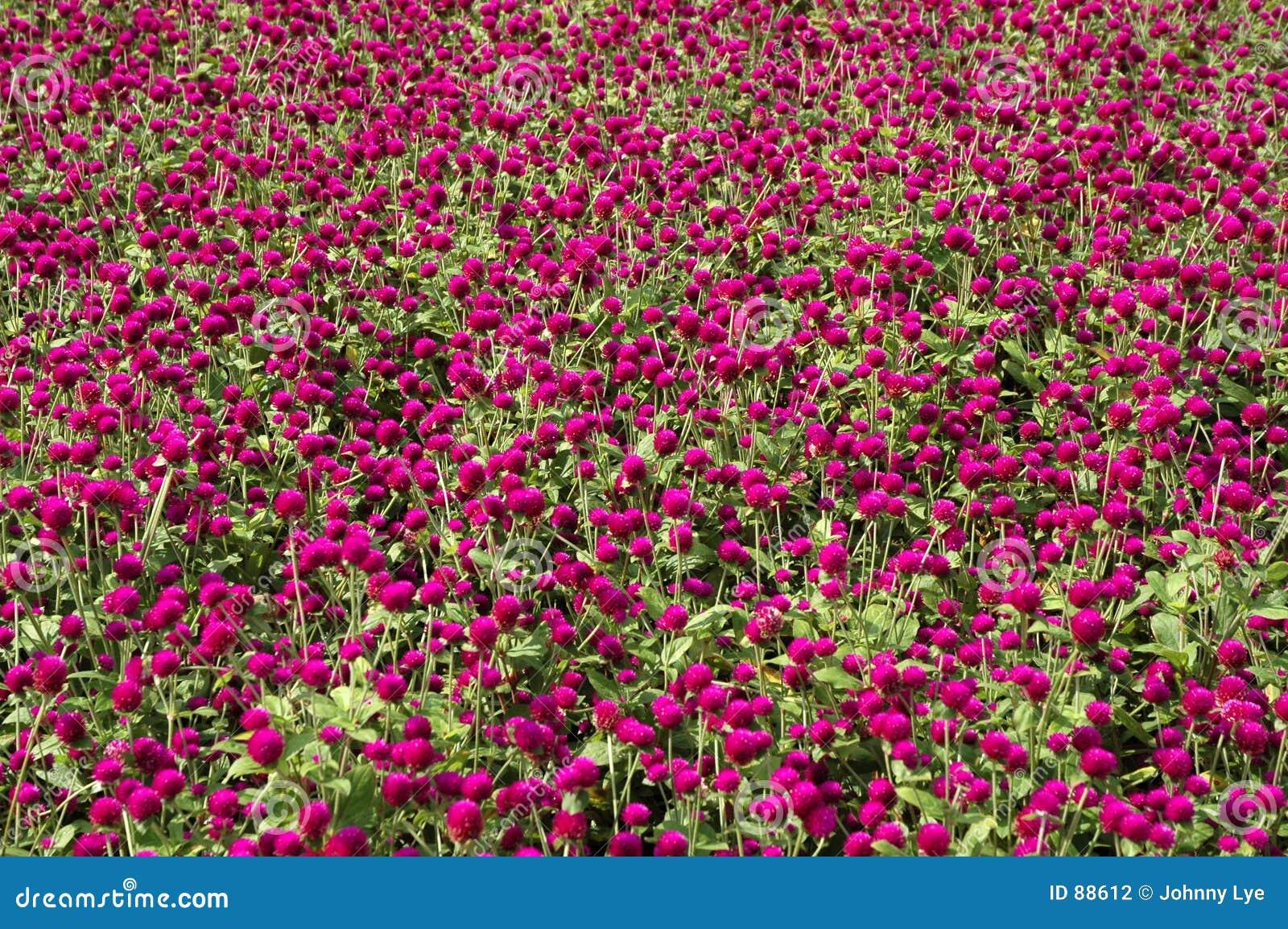 πορφύρα λουλουδιών