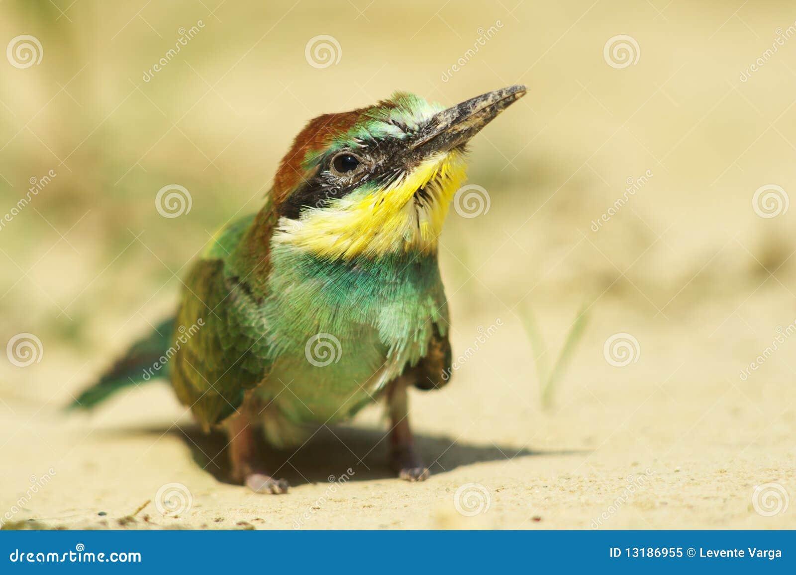 πουλί Ευρώπη ένα προστατ&epsilon