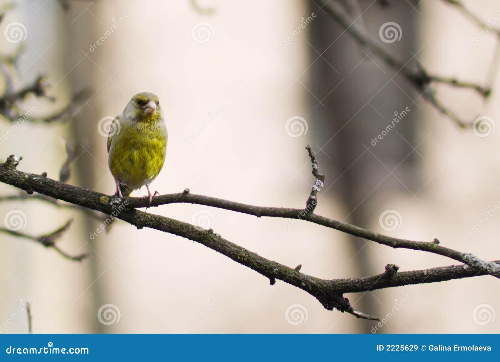 πουλί κίτρινο
