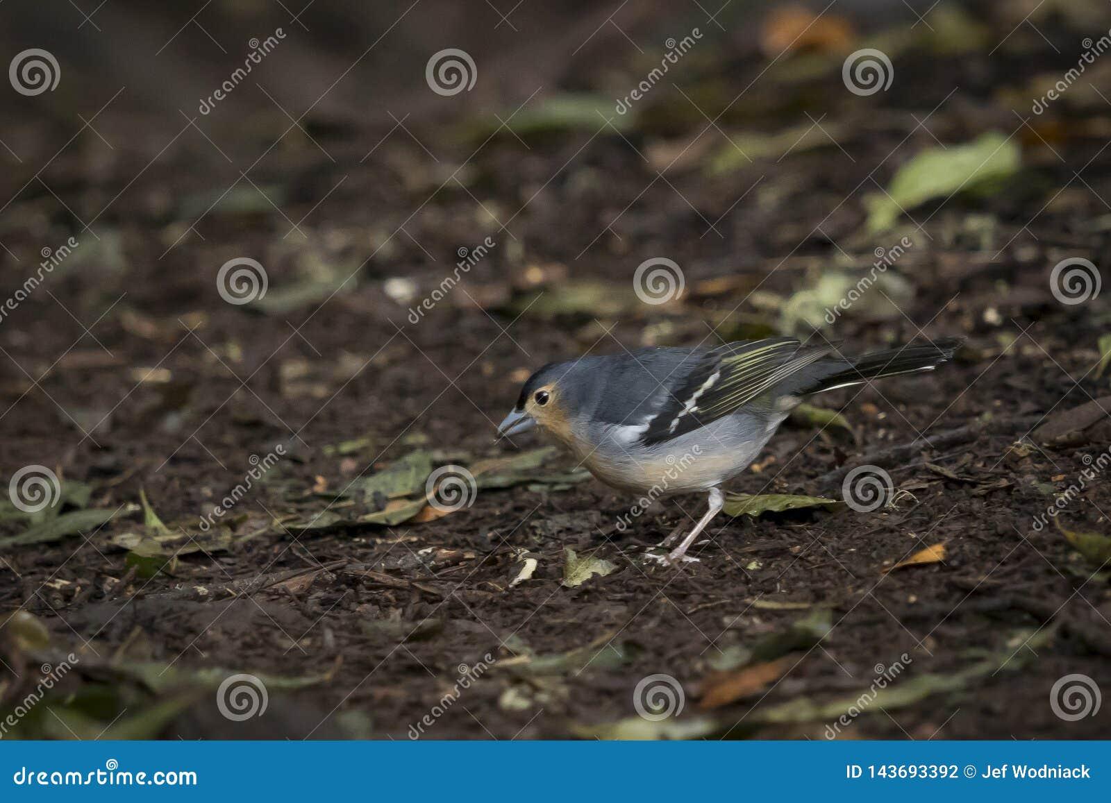 Πουλί, κοινό Chaffinch Fringilla coelebs στο δάσος στο πάρκο Garajonay gomera καναρινιών Λα νησιών