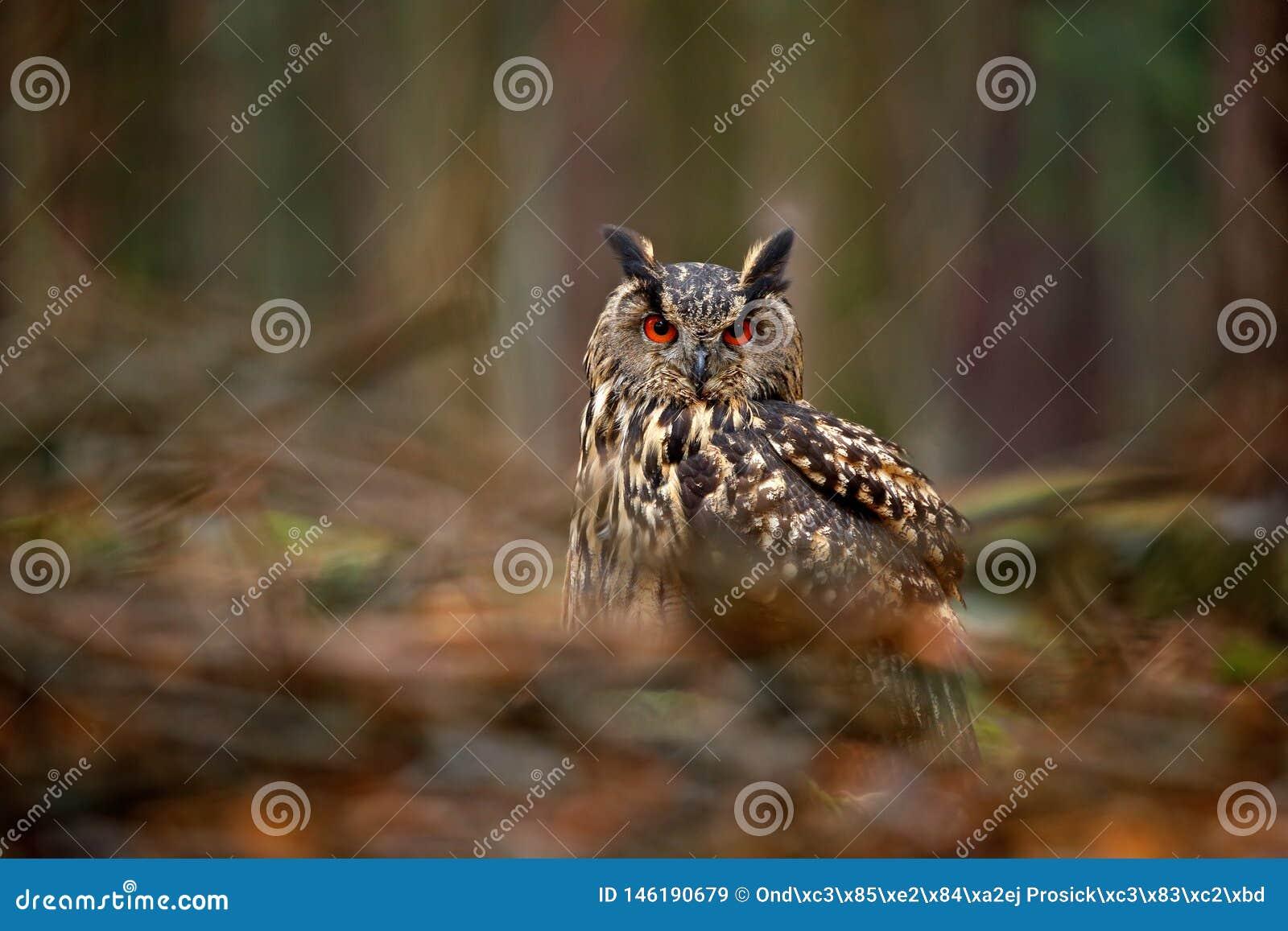 Πουλί στο ξύλο Κουκουβάγια στο δασικό βιότοπο, πράσινη πέτρα βρύου Ευρασιατικά μεγάλα πορτοκαλιά μάτια μπούφων witb, Πολωνία Πουλ