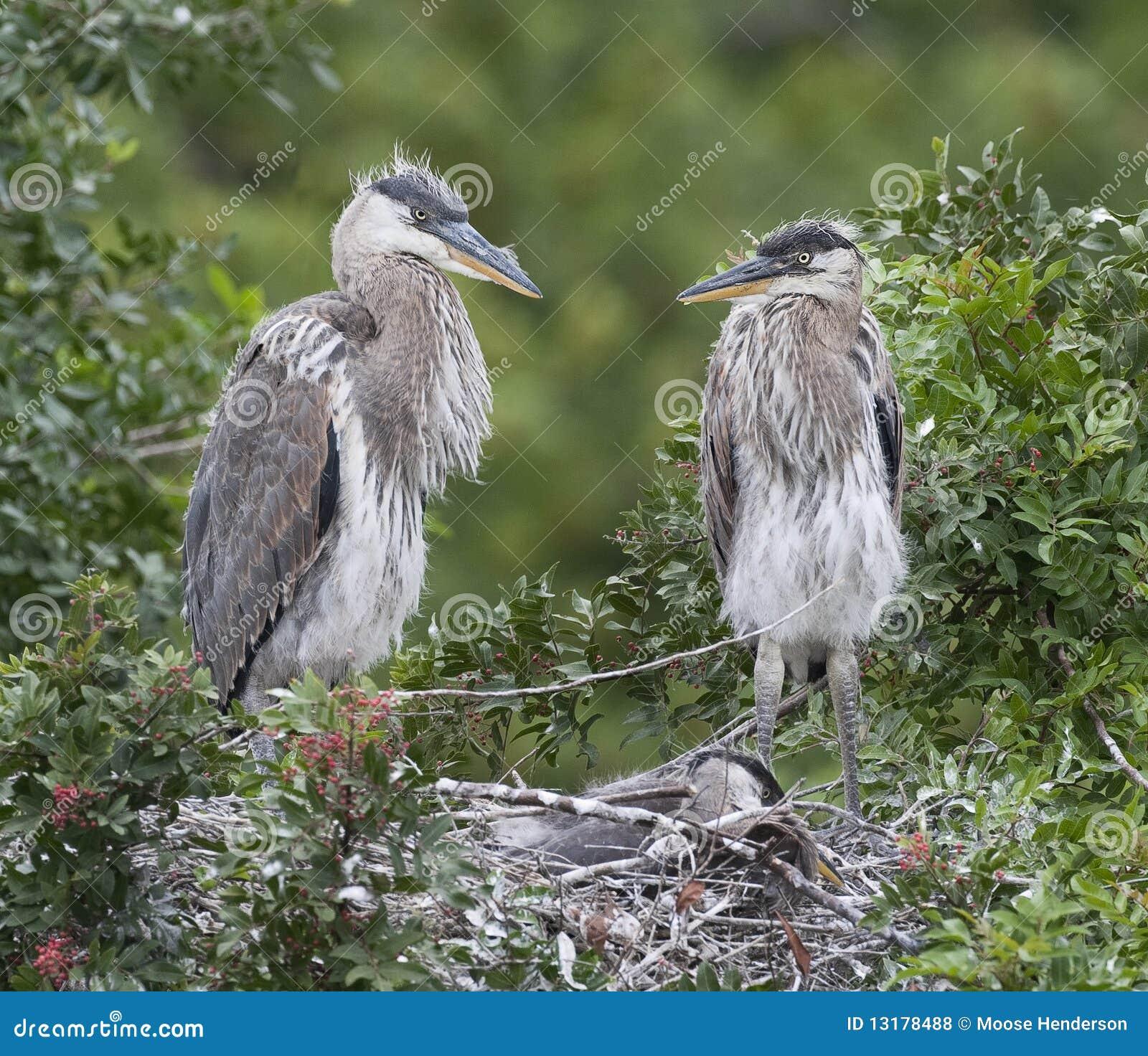 πουλί τοποθέτησης