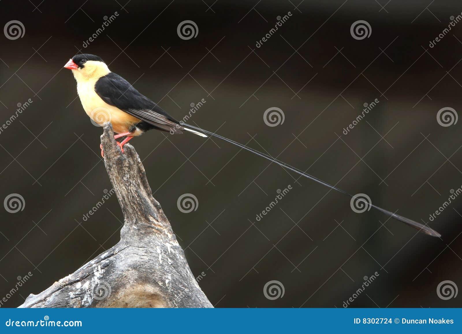 πουλί whydah