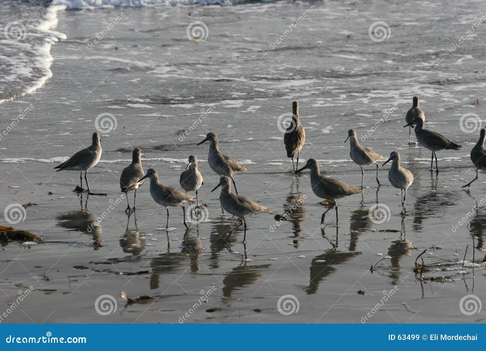 πουλιά παραλιών