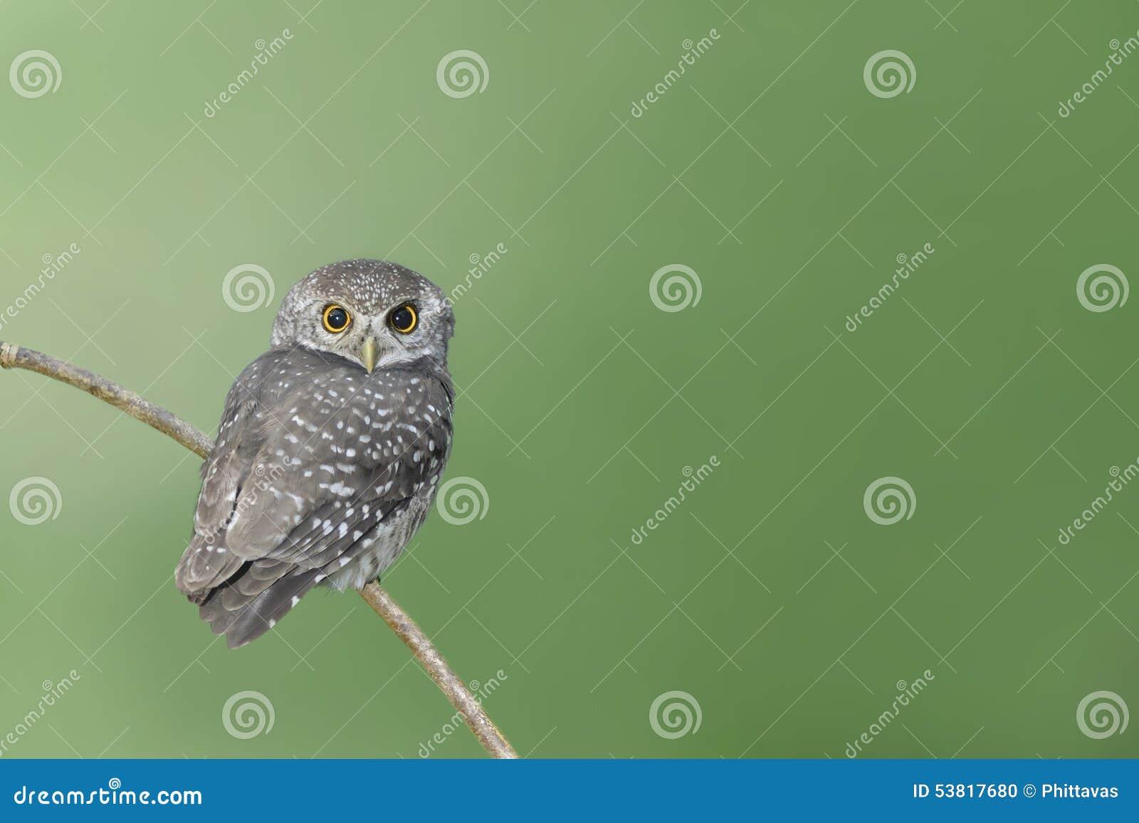Πουλί (επισημασμένο owlet) που σκαρφαλώνει στον κλάδο
