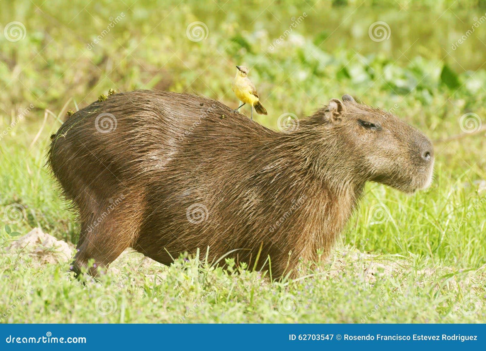 Πουλί που οδηγά σε Capybara