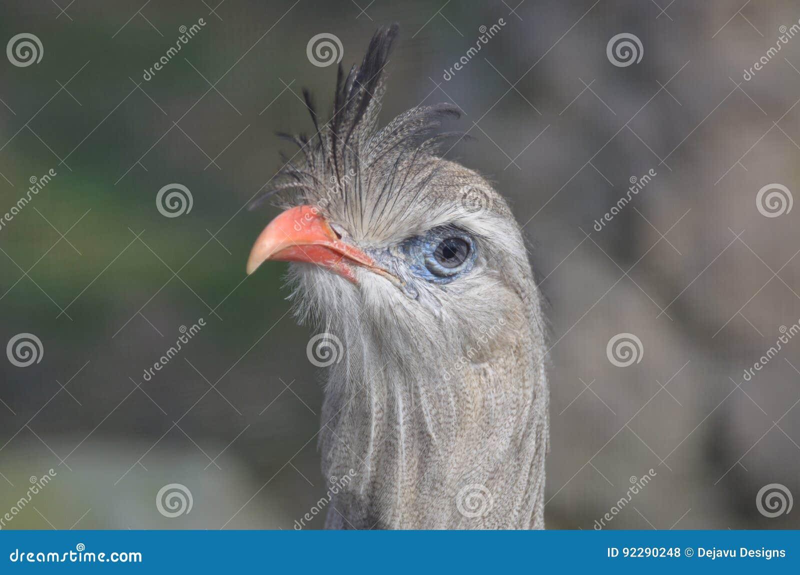Μεγάλο λατινικό πουλί φωτογραφίες