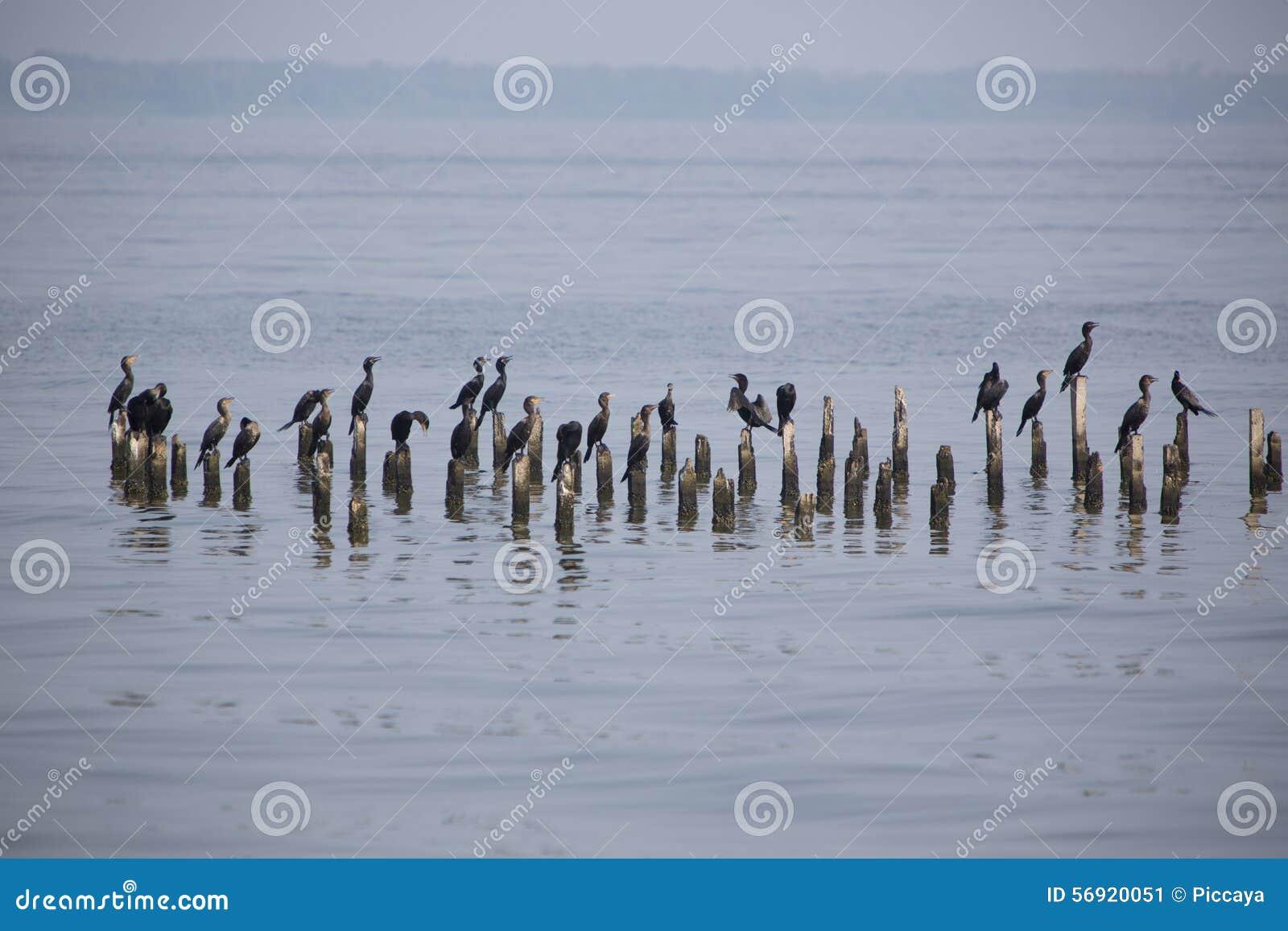 Πουλιά που σκαρφαλώνουν στους συγκεκριμένους στυλοβάτες, λίμνη Μαρακαΐμπο, Βενεζουέλα