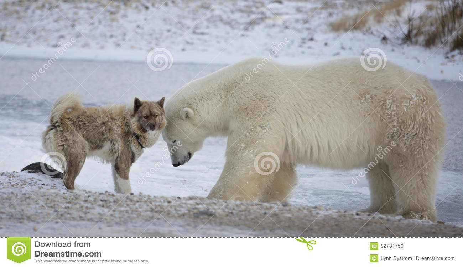Πολική αρκούδα και σκυλί