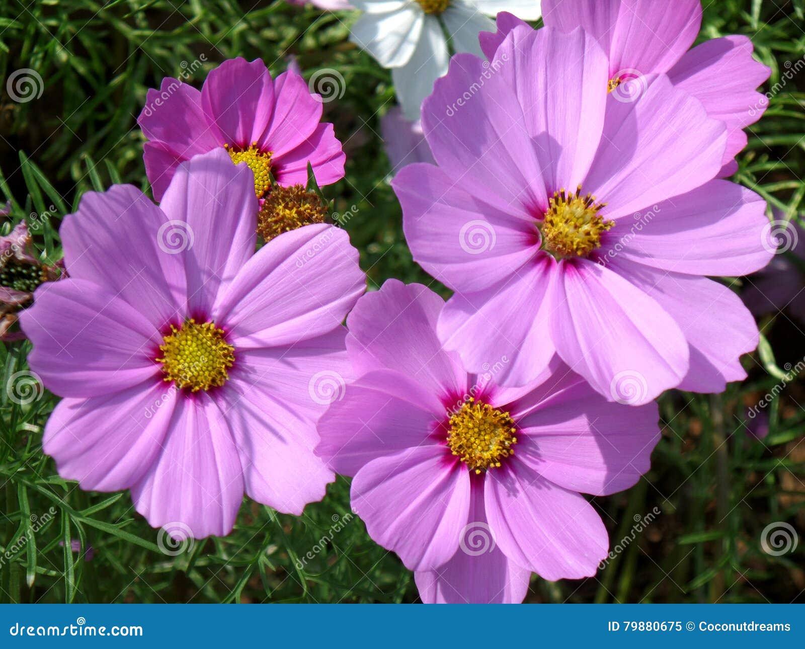 Πολυάριθμα ανθίζοντας φωτεινά λουλούδια αστέρων χρώματος ρόδινα μεξικάνικα