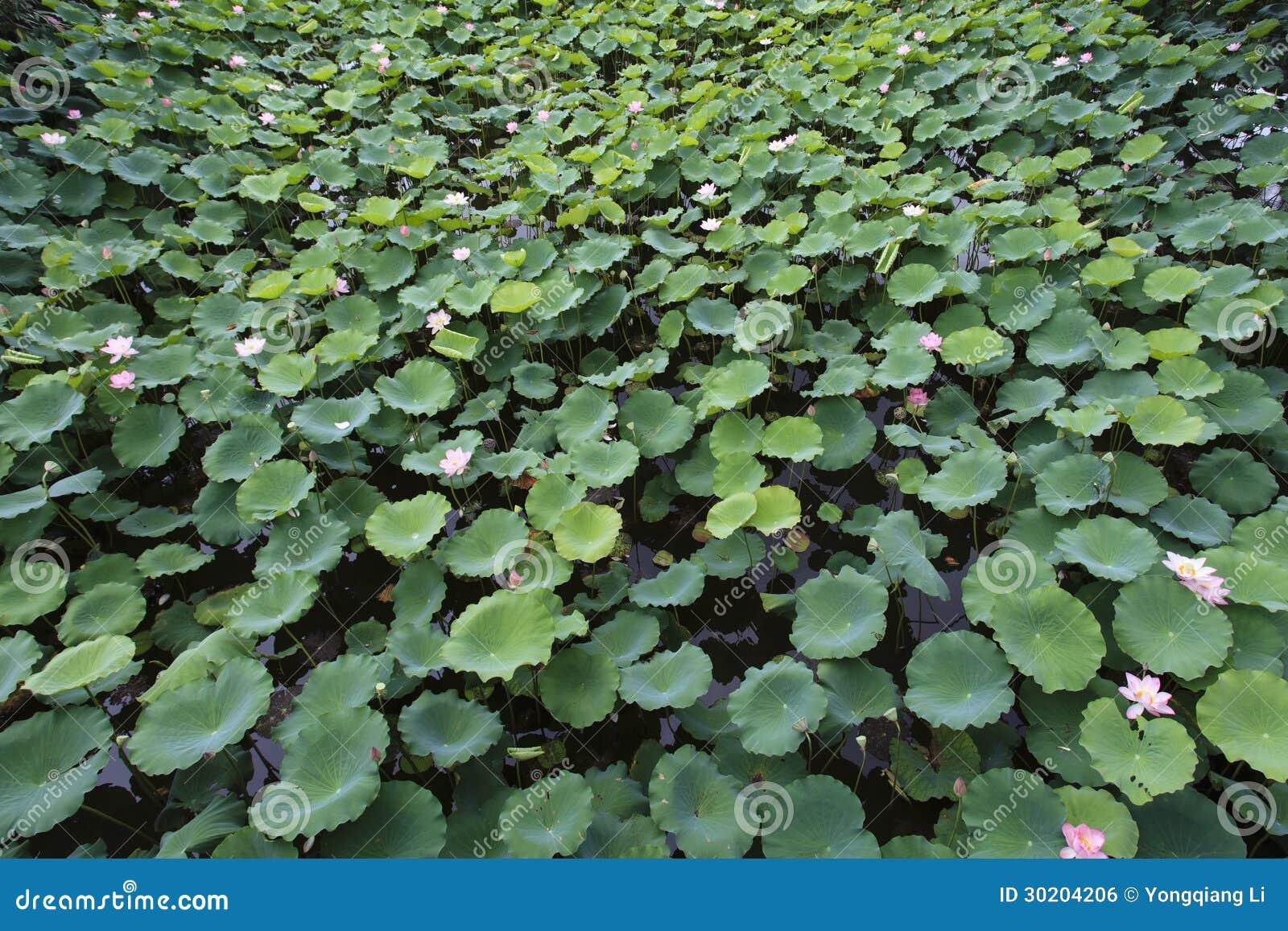 Πολύ Lotus στη λίμνη νερού