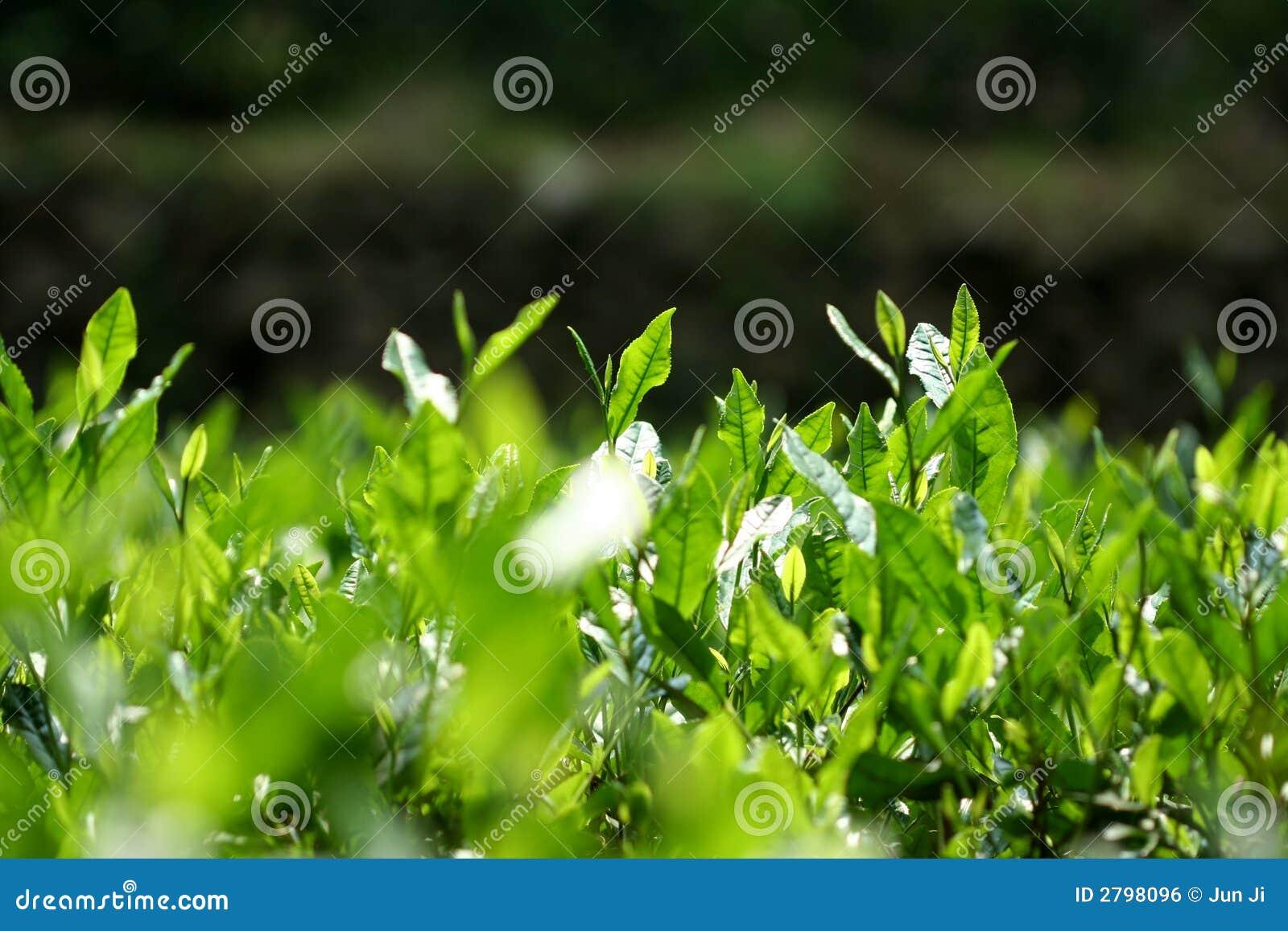 πράσινα δέντρα τσαγιού longjin