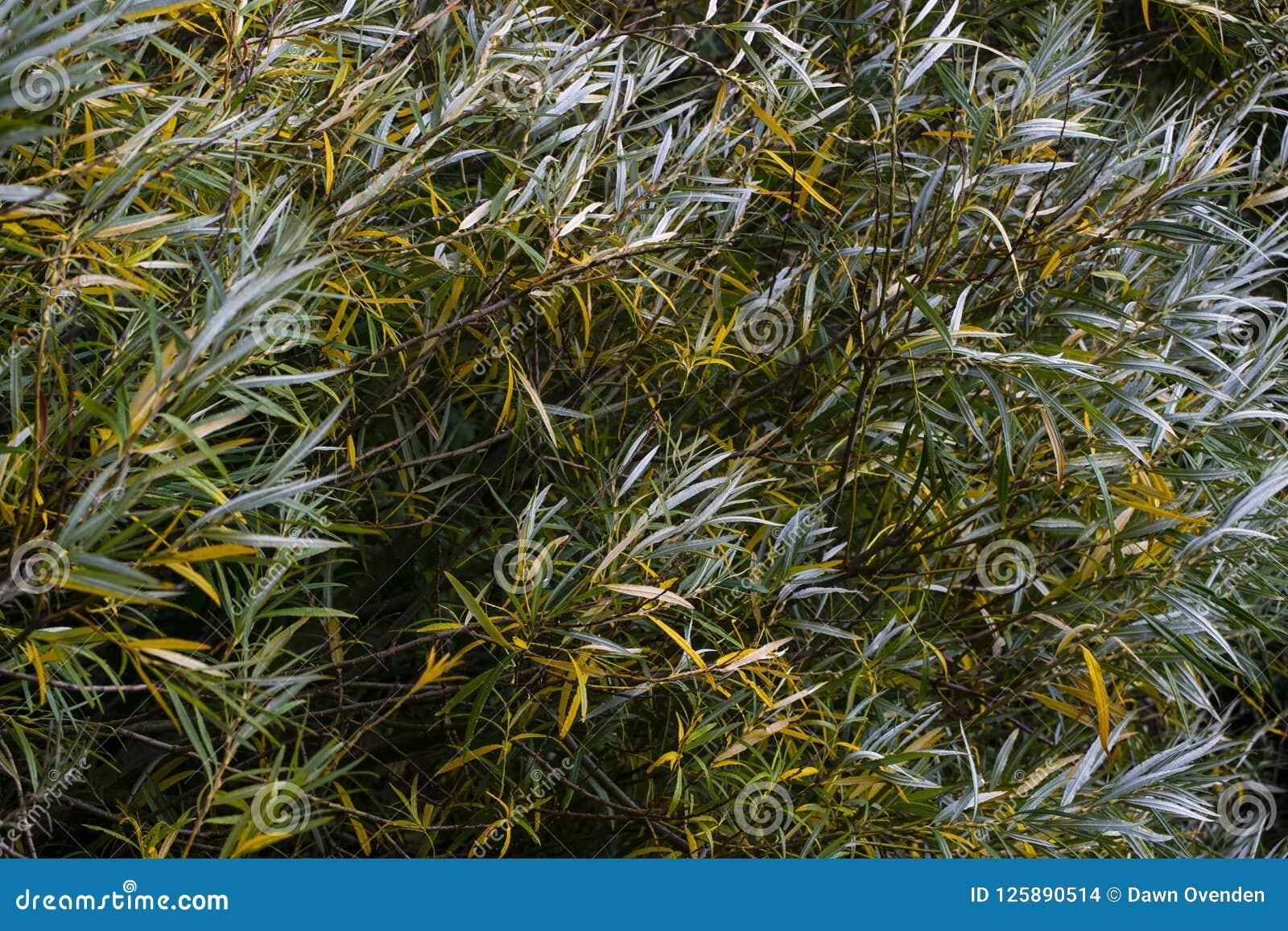 Πράσινα και αργυροειδή φύλλα που φυσιούνται στον αέρα
