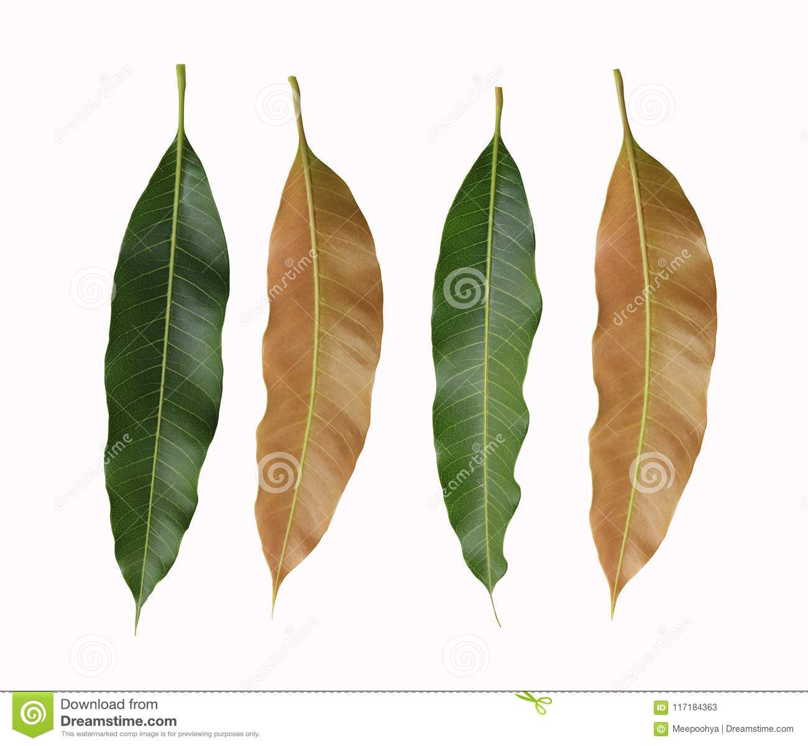 Πράσινα και καφετιά φύλλα των δέντρων μάγκο που απομονώνονται στο άσπρο backgrou
