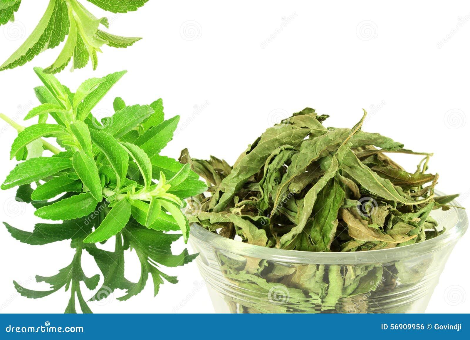 πράσινα και ξηρά φύλλα rebaudiana Stevia στο άσπρο υπόβαθρο
