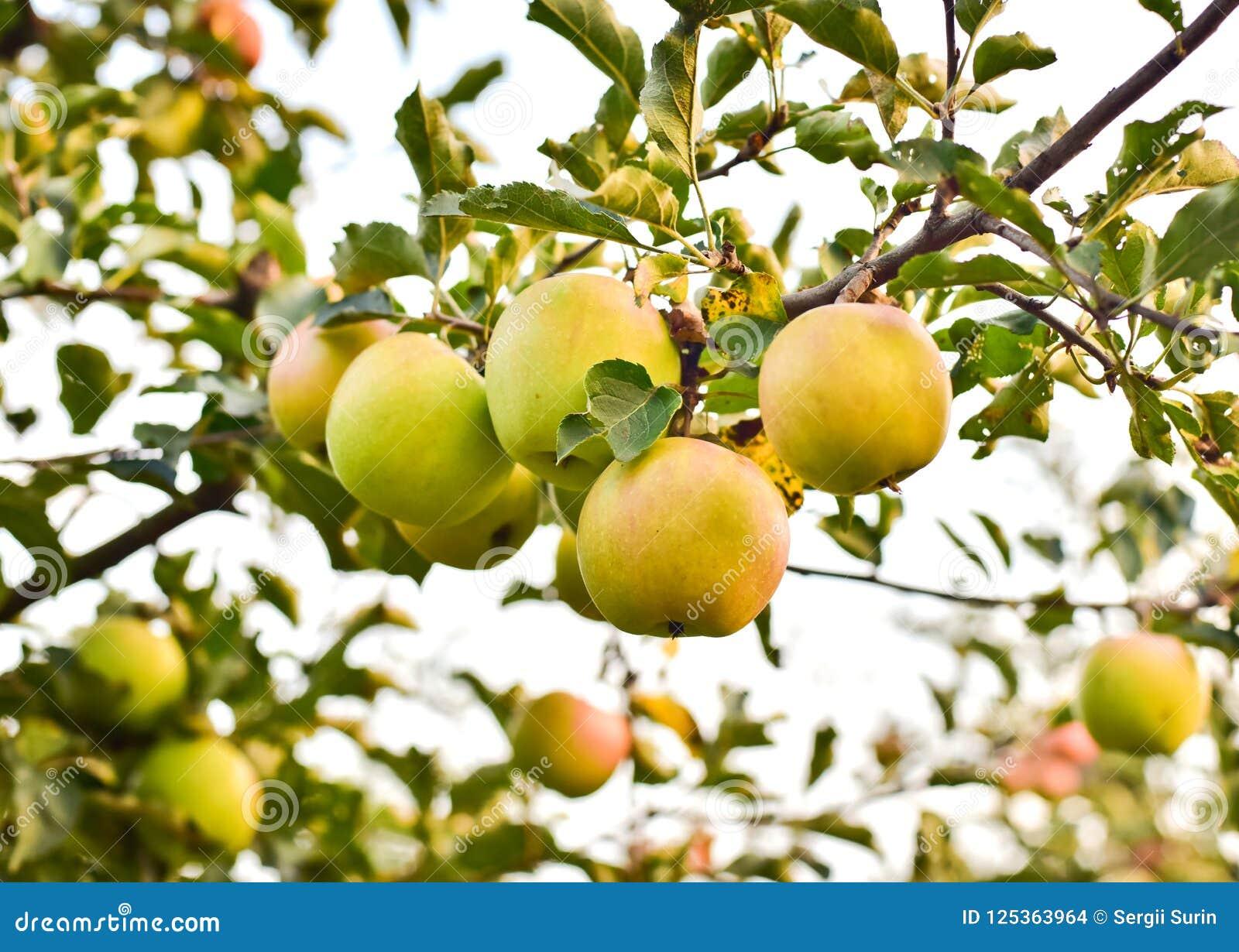 Πράσινα μήλα σε έναν κλάδο με τα πράσινα φύλλα