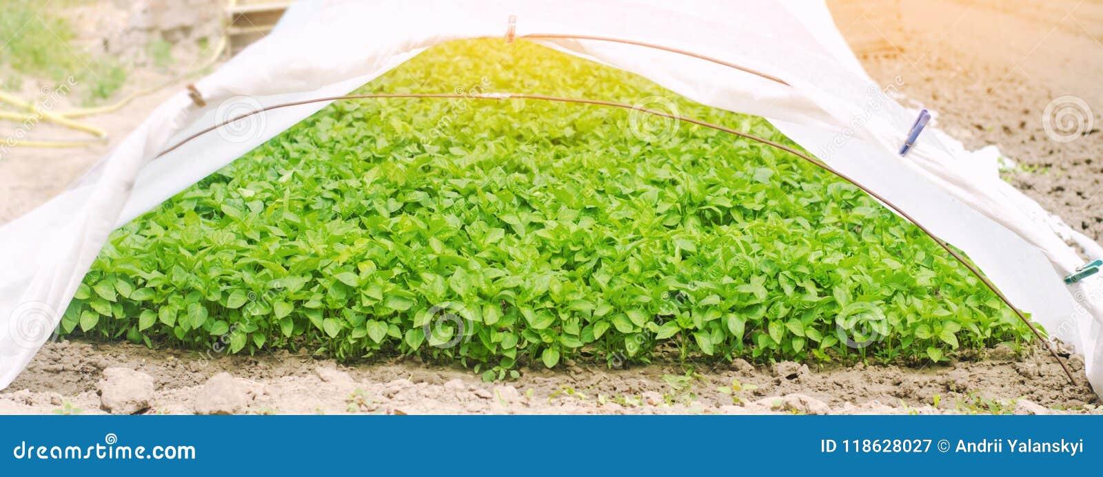 Πράσινα σπορόφυτα πιπεριών στο θερμοκήπιο, έτοιμο για τη μεταμόσχευση στον τομέα, καλλιέργεια, γεωργία, λαχανικά, φιλικό προς το