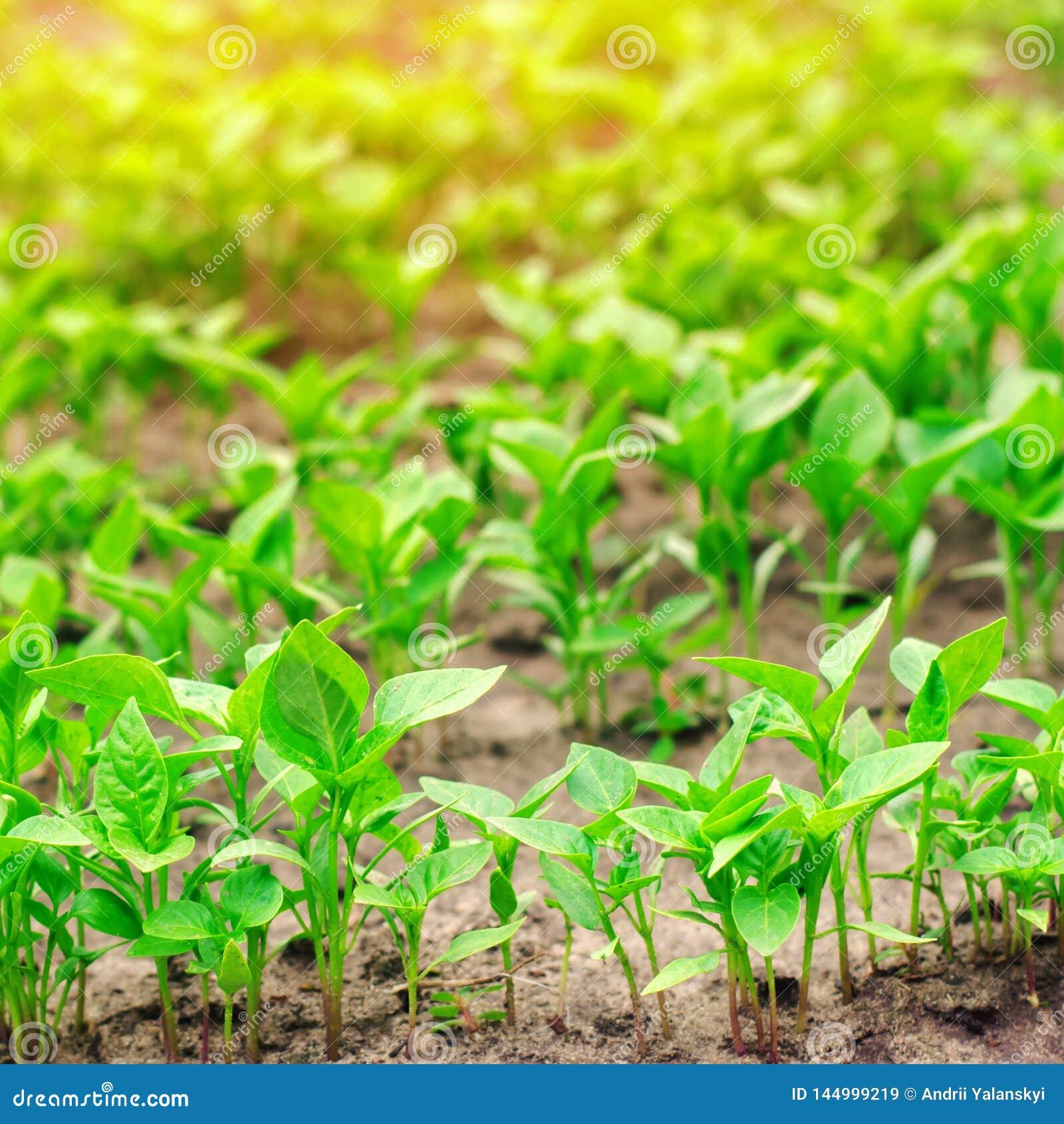 Πράσινα σπορόφυτα πιπεριών στο θερμοκήπιο, έτοιμο για τη μεταμόσχευση στον τομέα, καλλιέργεια, γεωργία, λαχανικά, φιλικά προς το