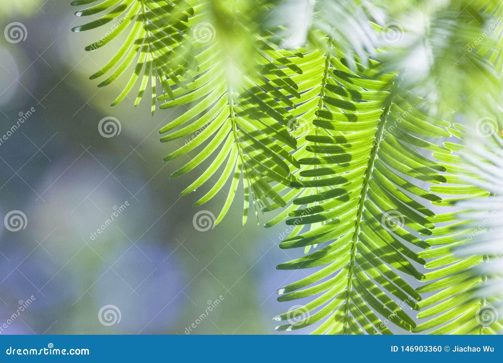 Πράσινα πράσινα φύλλα άνοιξη metasequoia