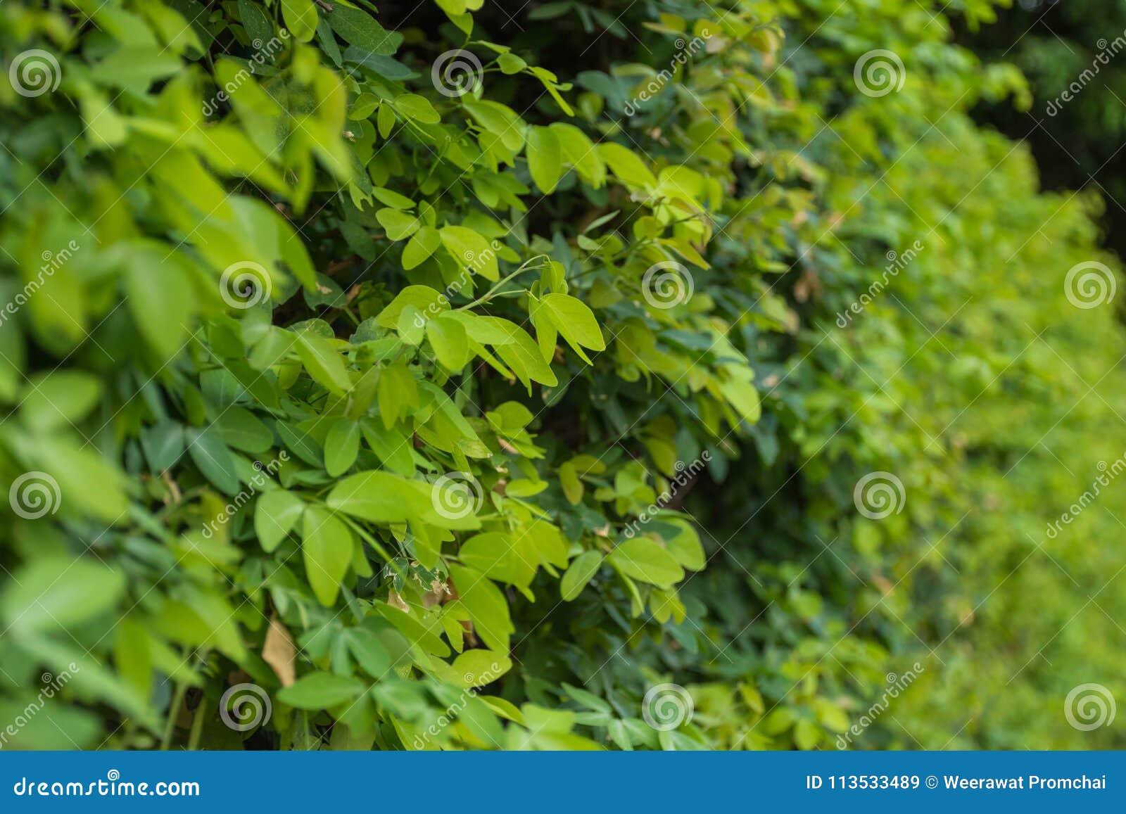 πράσινα φύλλα ανασκόπησης ακακιών