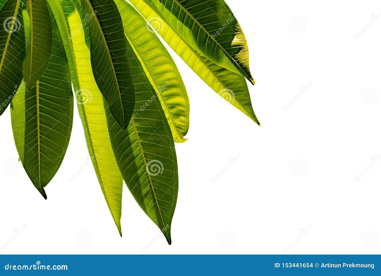Πράσινα φύλλα που απομονώνονται στο άσπρο υπόβαθρο για το σχέδιο τέχνης και διακοσμητικά Υπόβαθρο σύστασης φύσης Αγαπήστε τη γήιν