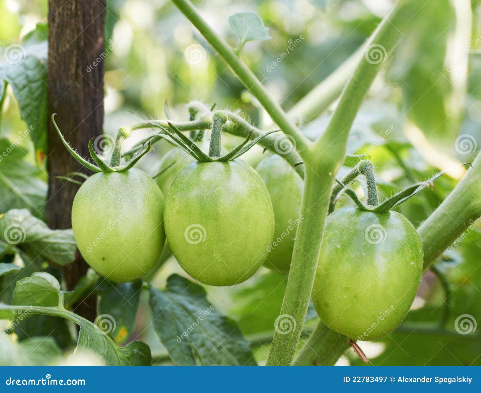 πράσινες ντομάτες