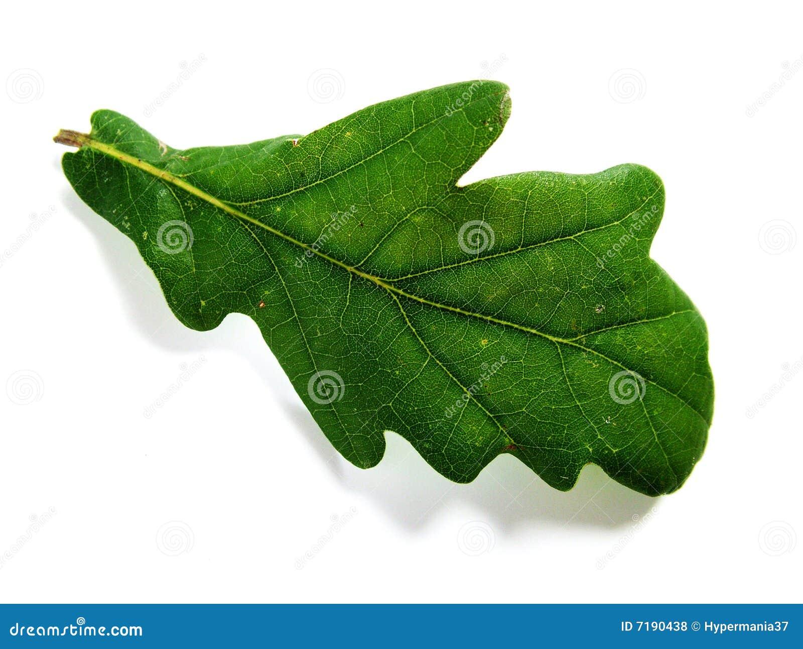 πράσινη βαλανιδιά φύλλων
