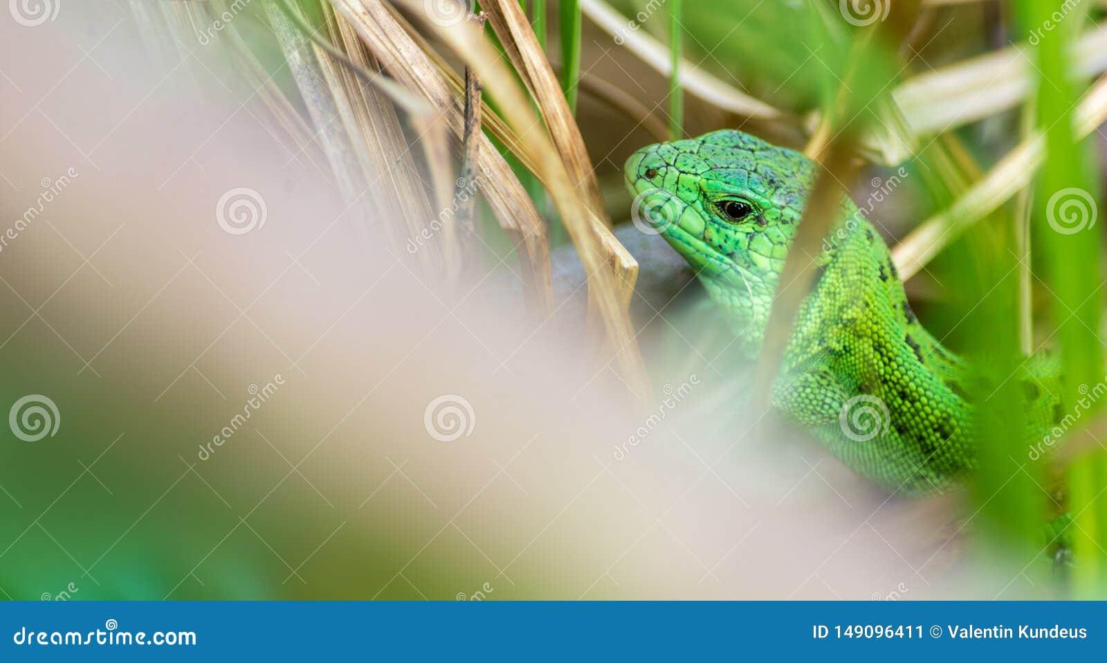 Πράσινη σαύρα στη χλόη Ερπετά Ασυνήθιστα ζώα Ζωή στις άγρια περιοχές r