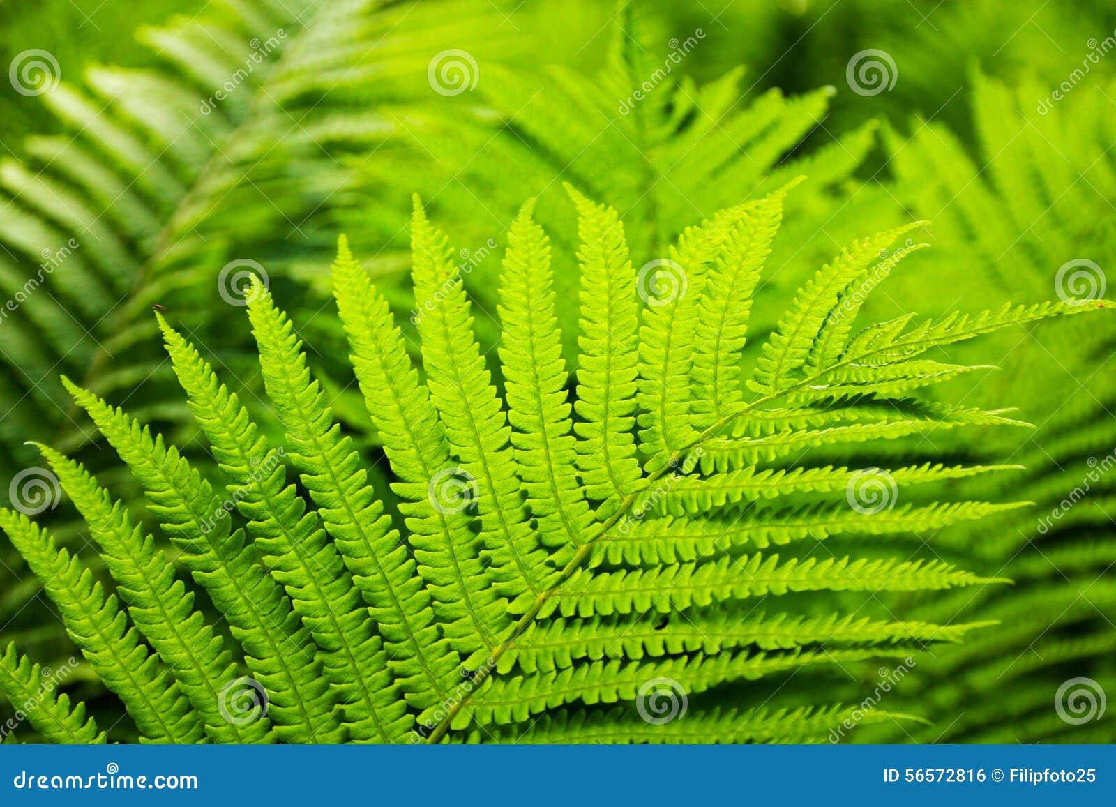 Download Πράσινη φτέρη στοκ εικόνες. εικόνα από μπούκλα, βοτανικό - 56572816