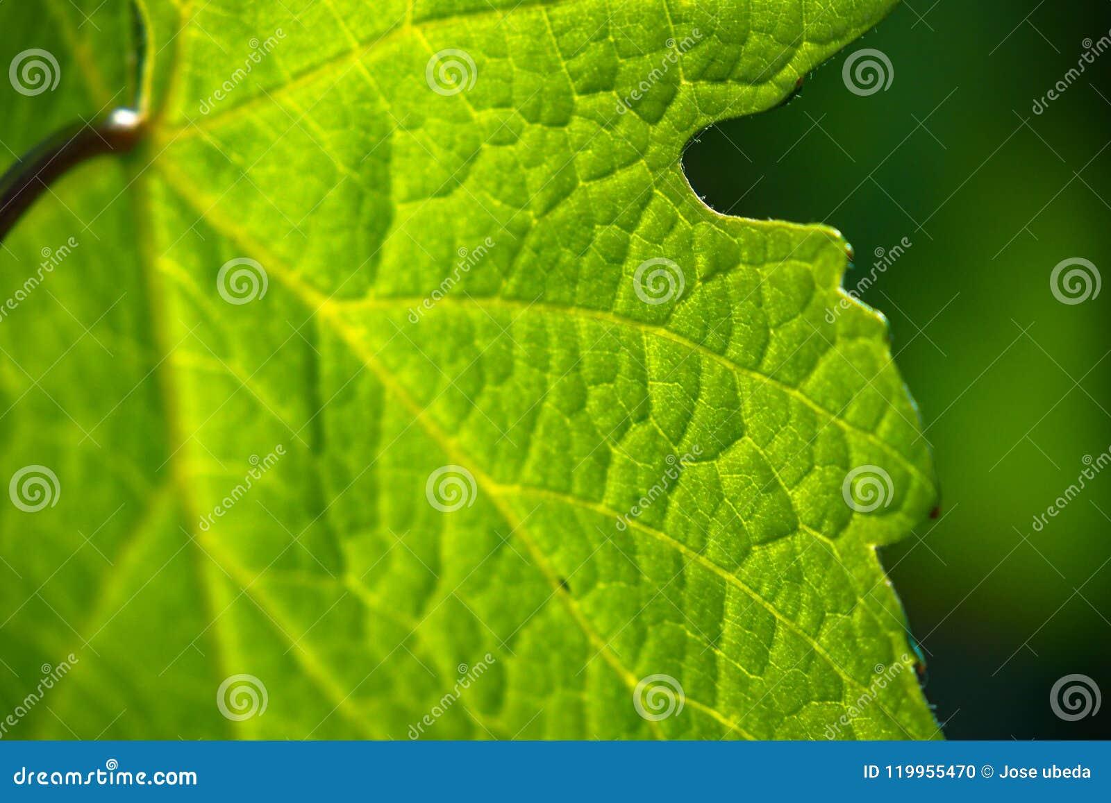 Πράσινη χλωροφύλλη όπου το φύλλο εκτελεί τη φωτοσύνθεση