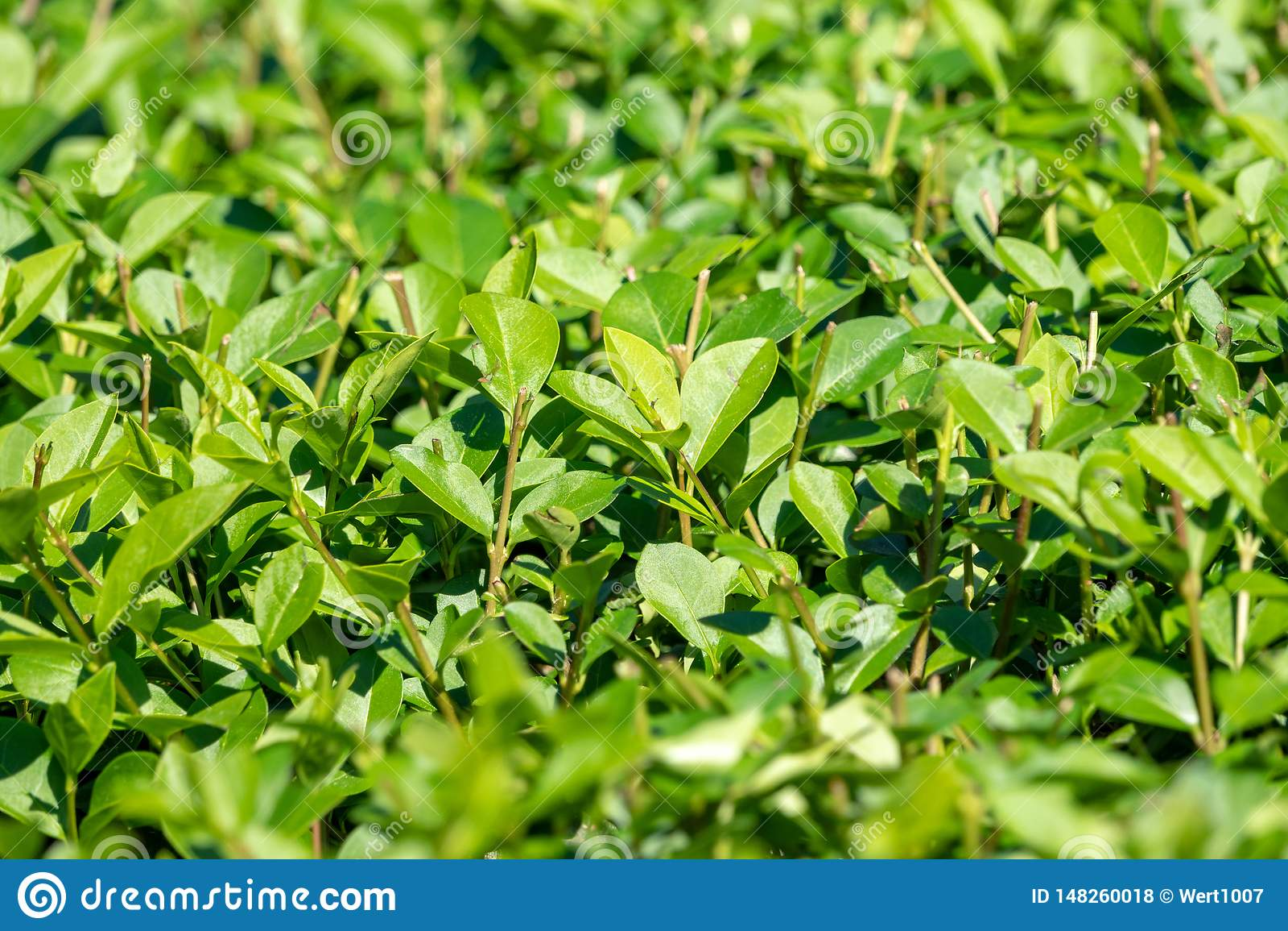 Πράσινοι θάμνοι με τους τακτοποιημένους κλάδους και τα νέα φύλλα