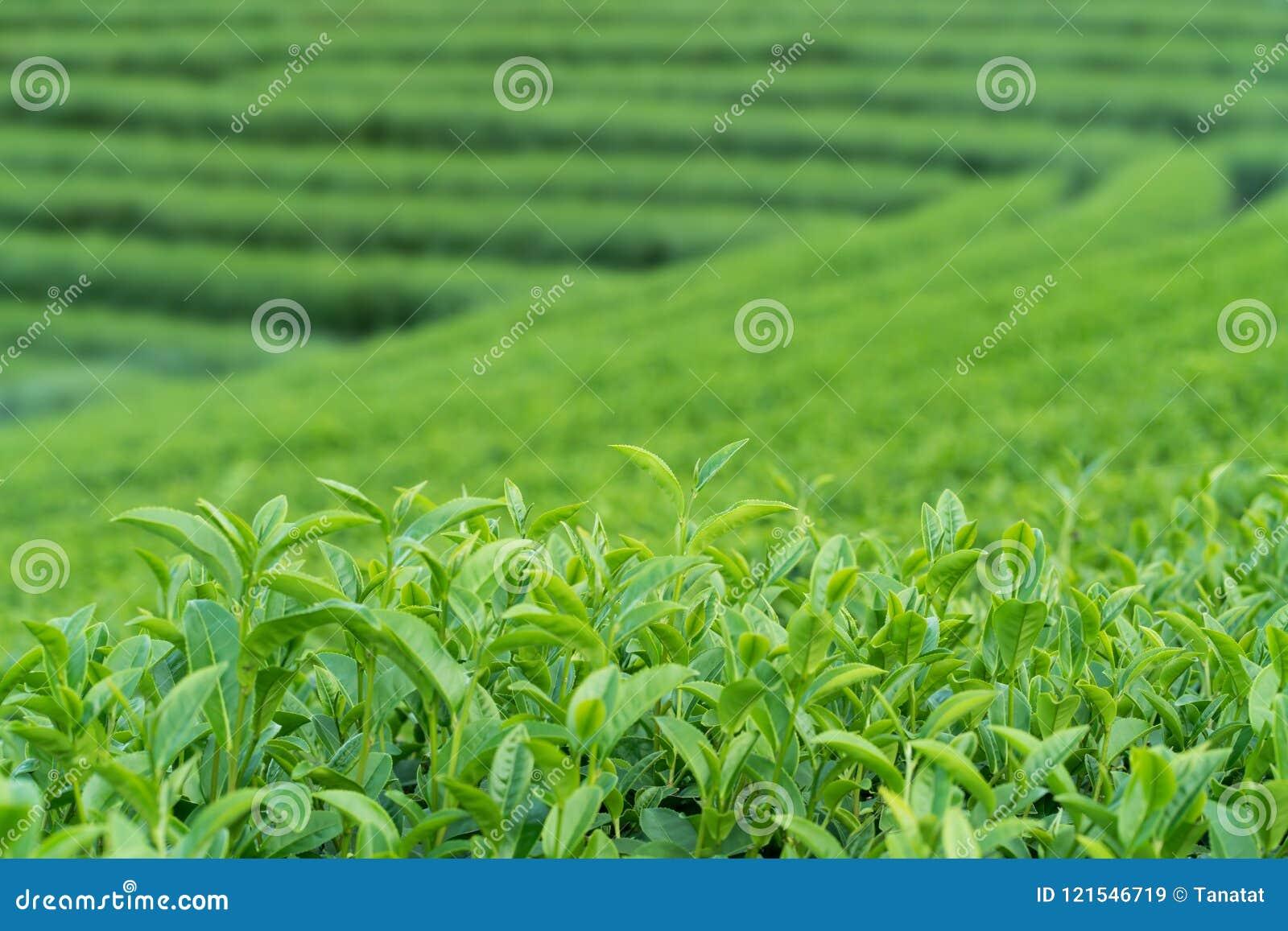 Πράσινοι οφθαλμός και φύλλα τσαγιού τσαγιού