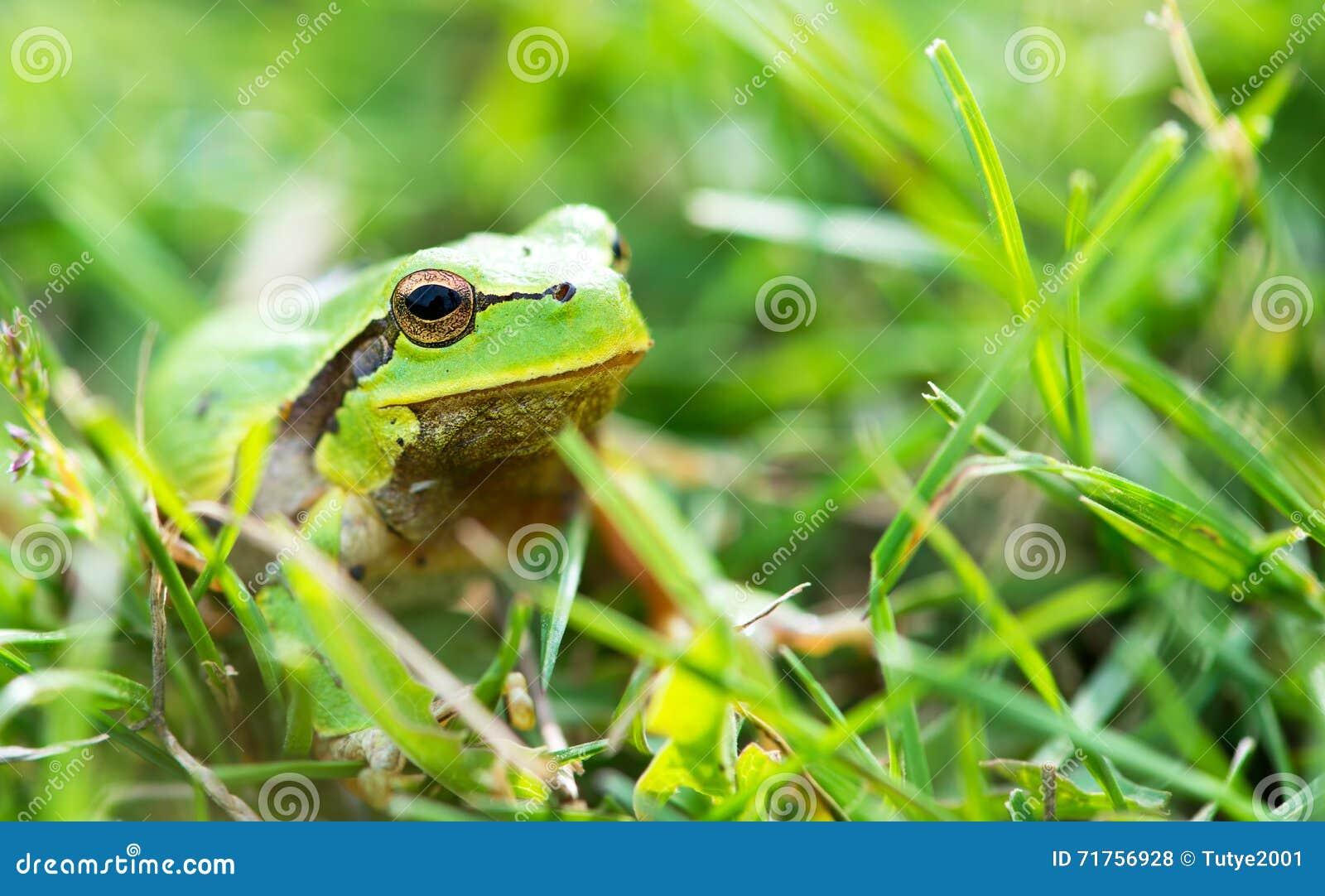 Πράσινος βάτραχος (ridibunda Rana)