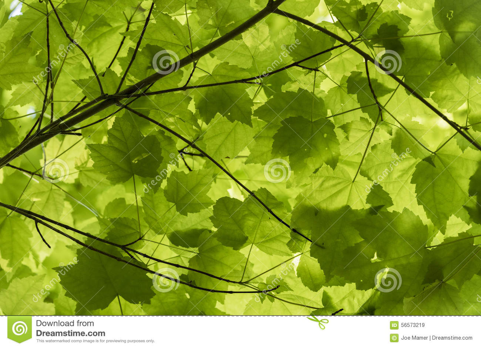 Download Πράσινος θόλος φύλλων σφενδάμου Στοκ Εικόνα - εικόνα από πράσινος, πολλοί: 56573219