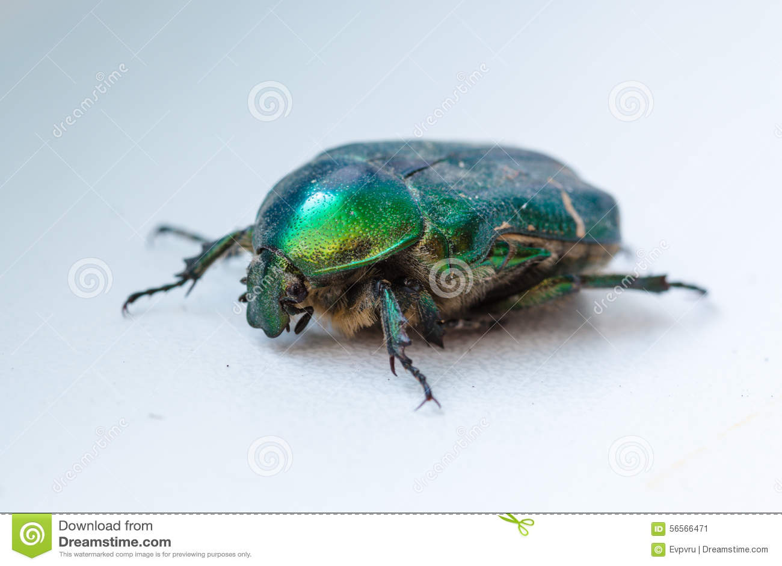 Download Πράσινος κάνθαρος στοκ εικόνα. εικόνα από μακροεντολή - 56566471