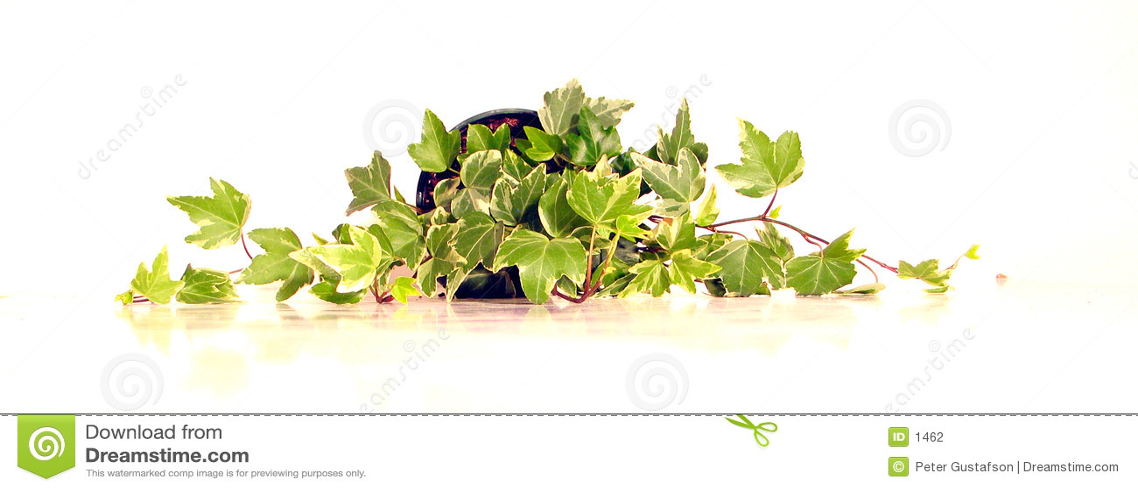 πράσινος κισσός 2