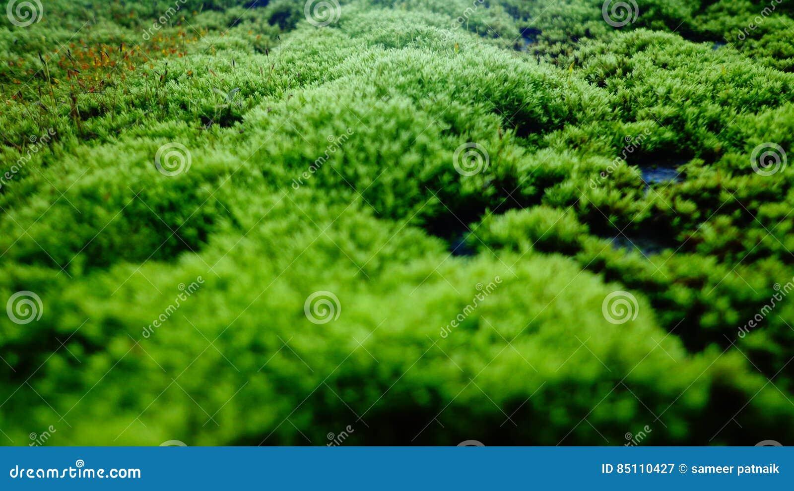 Πράσινος μύκητας