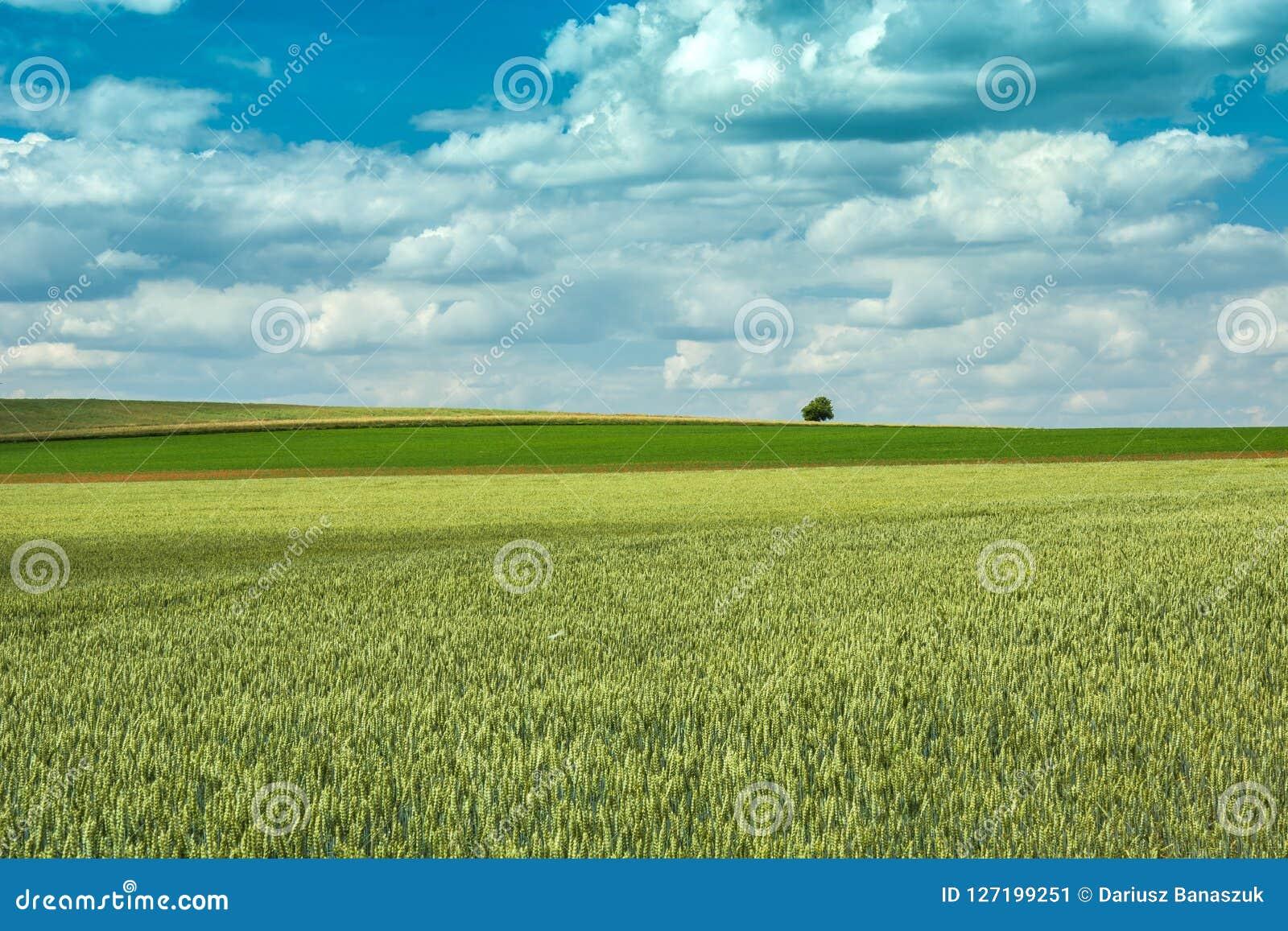 Πράσινος τομέας σίτου, μόνα δέντρο και σύννεφα στον ουρανό