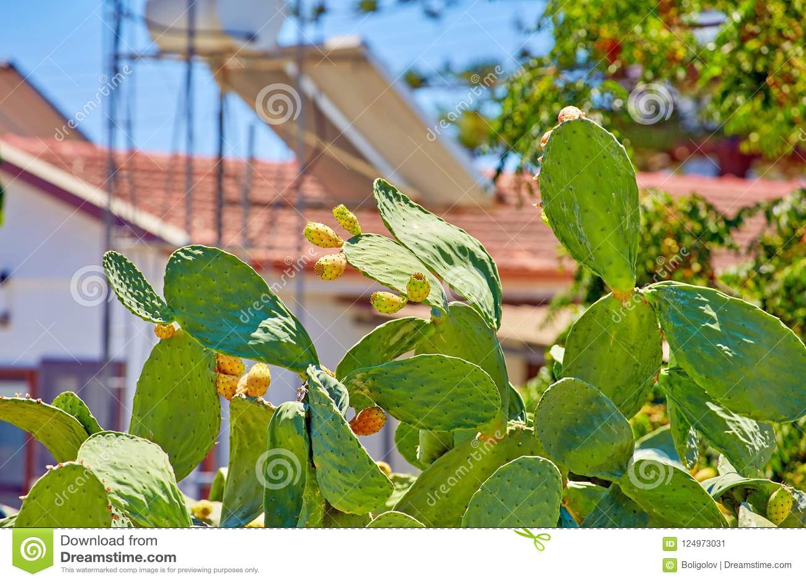 Πράσινος φαγώσιμος κάκτος της ηλιόλουστης Κύπρου