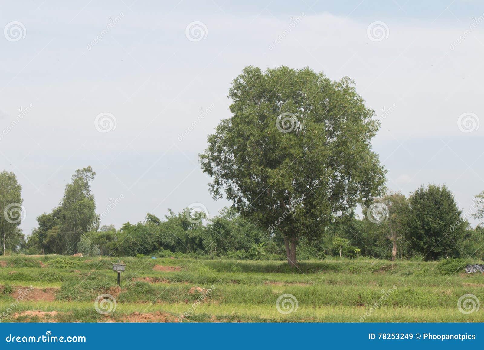 πράσινο δέντρο