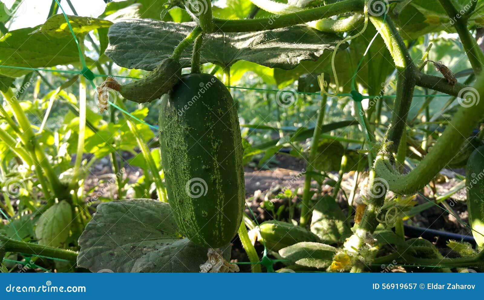 Πράσινο αγγούρι